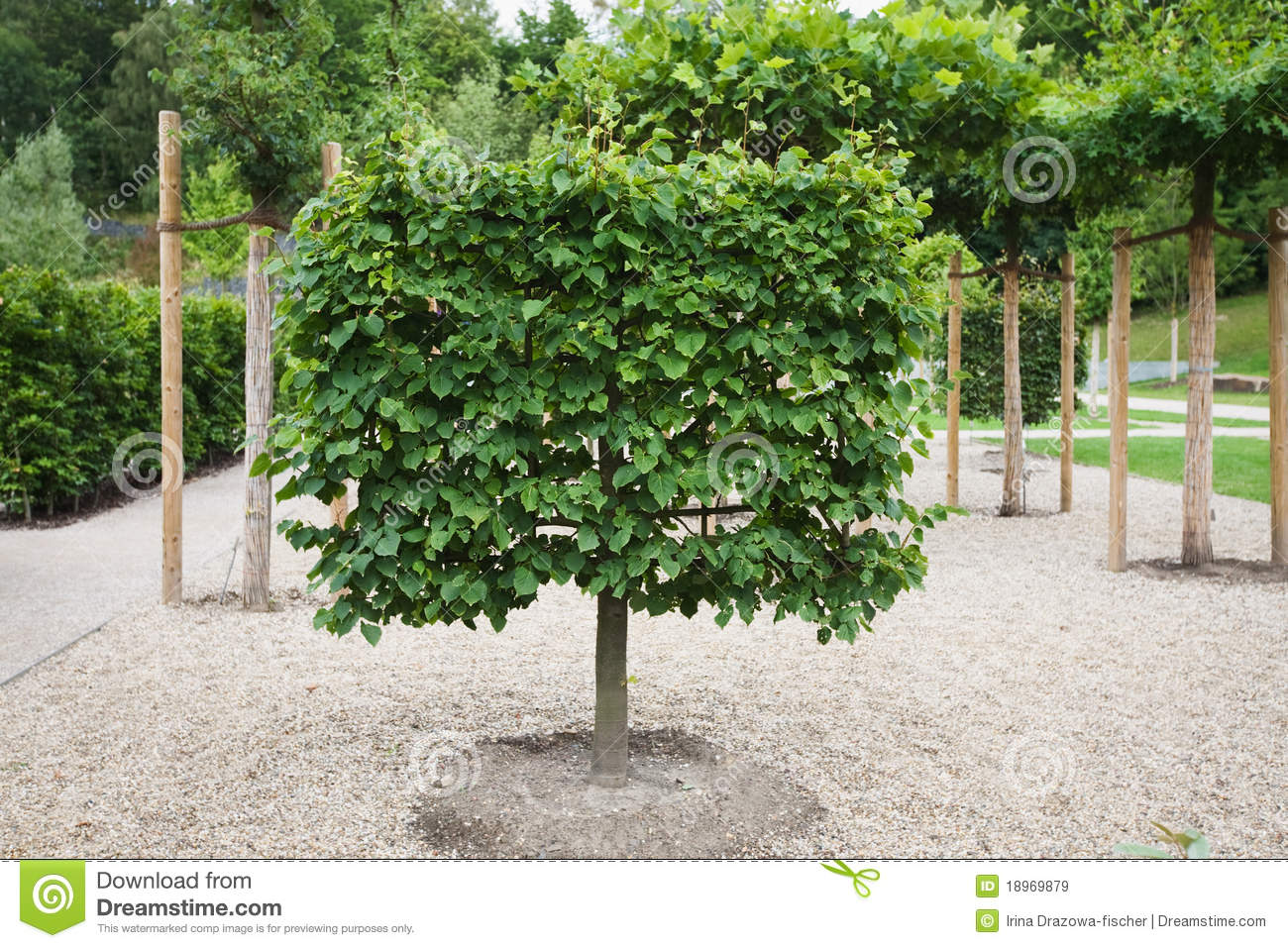 Espalier lime tree