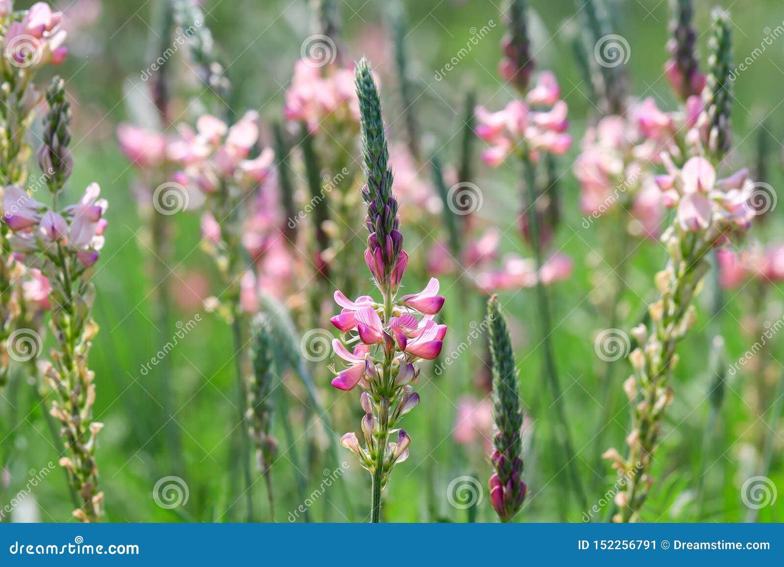 Esparsetteblüte, -blumen und -knospen