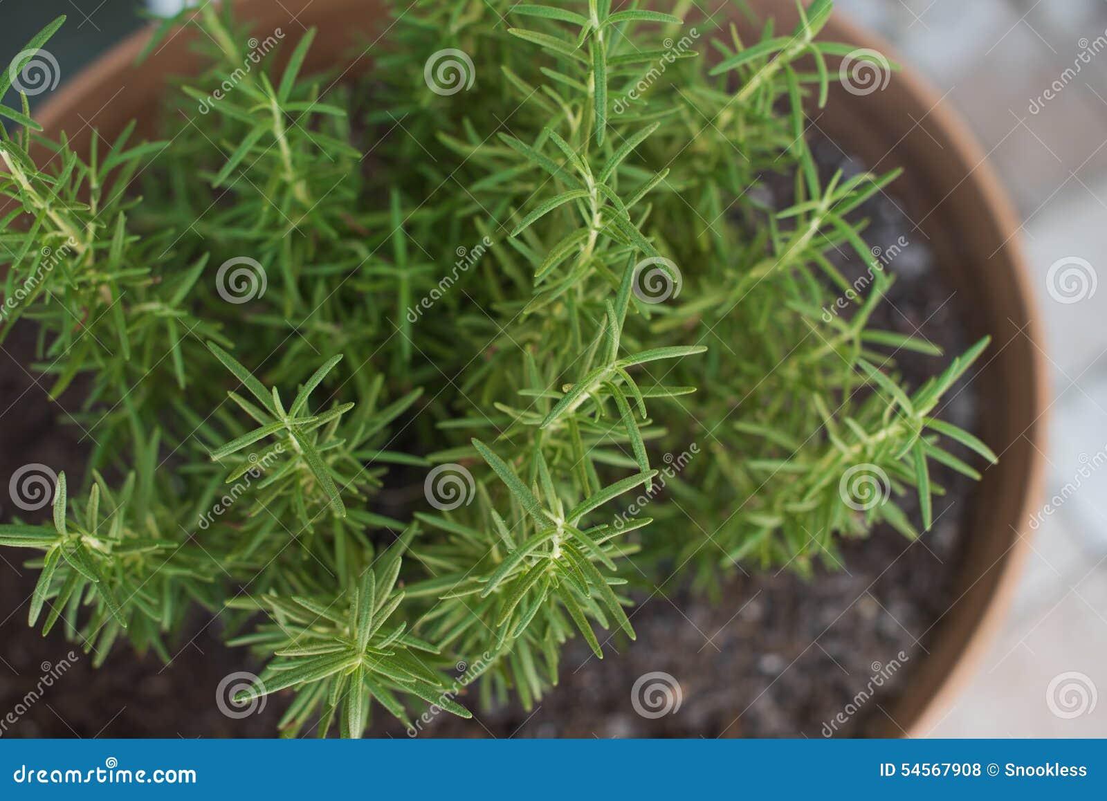 Especia de Rosemary