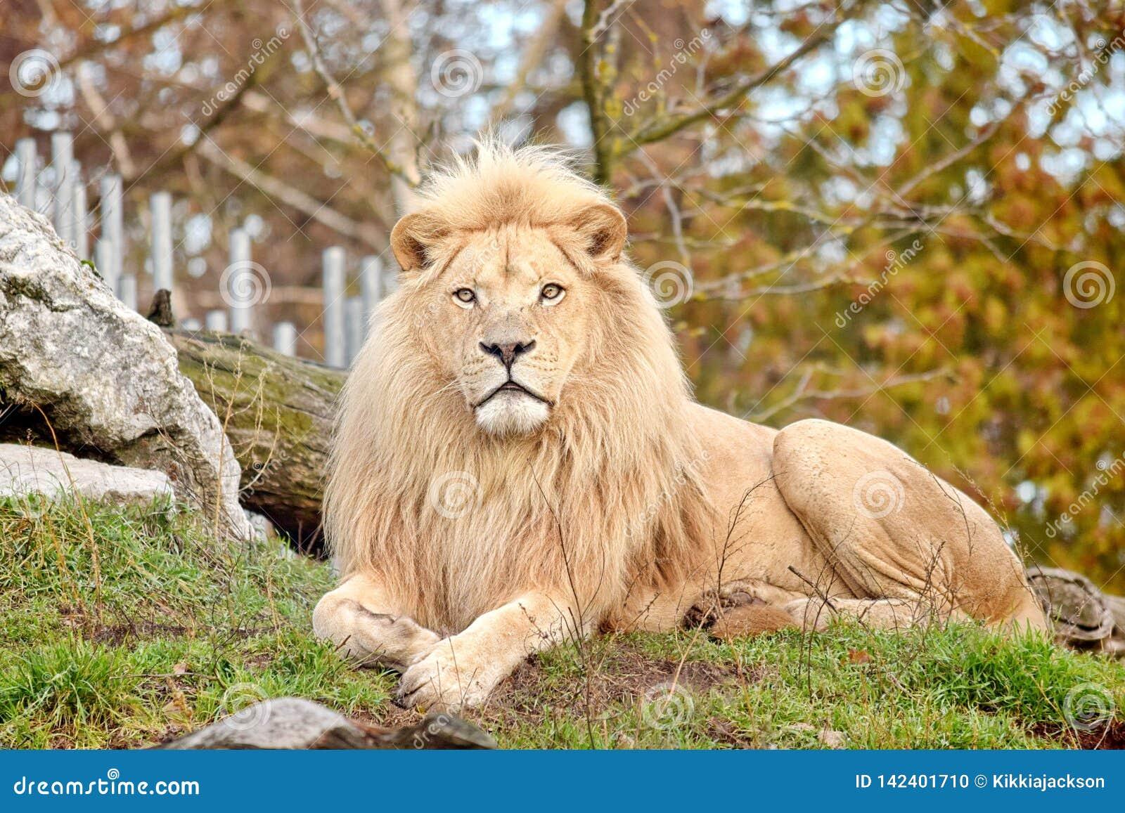 Especie blanca rara de Lion Panthera Leo Krugeri Endangered