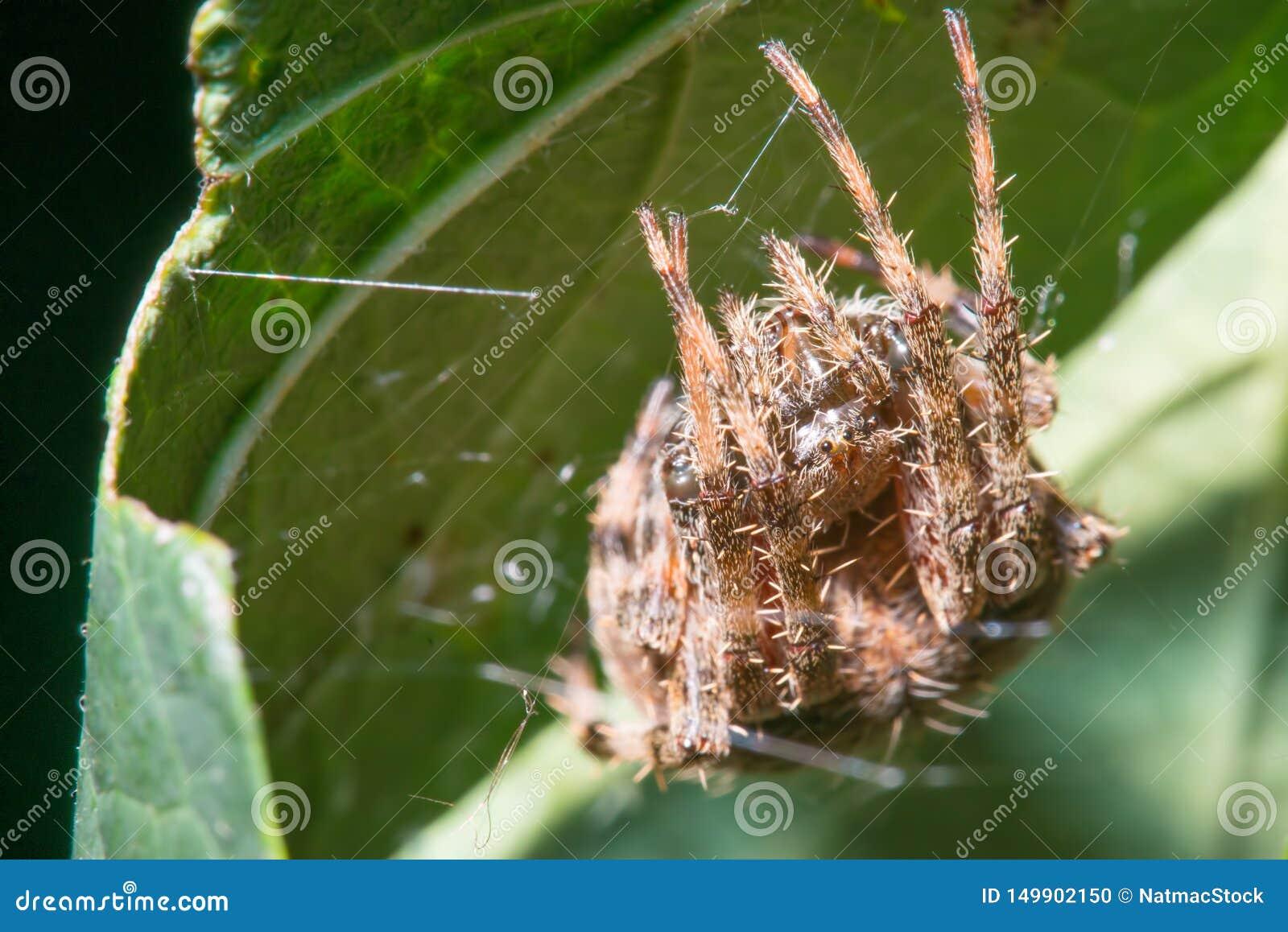 Especie de la araña del arácnido del patio trasero en su web en la parte trasera de una hoja verde - en Minnesota