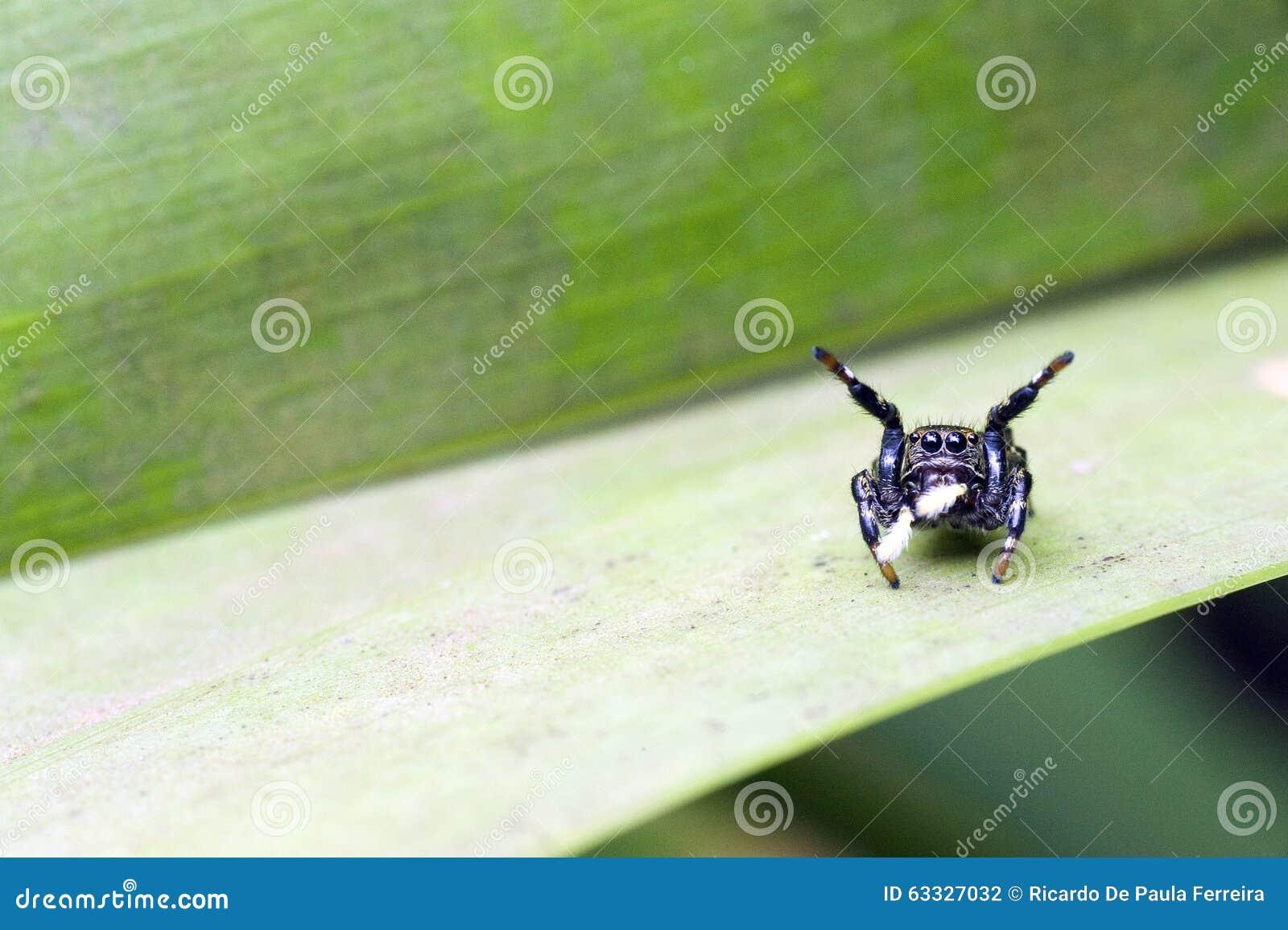 Especie de salto del arácnido de la araña de familia de Salticidae