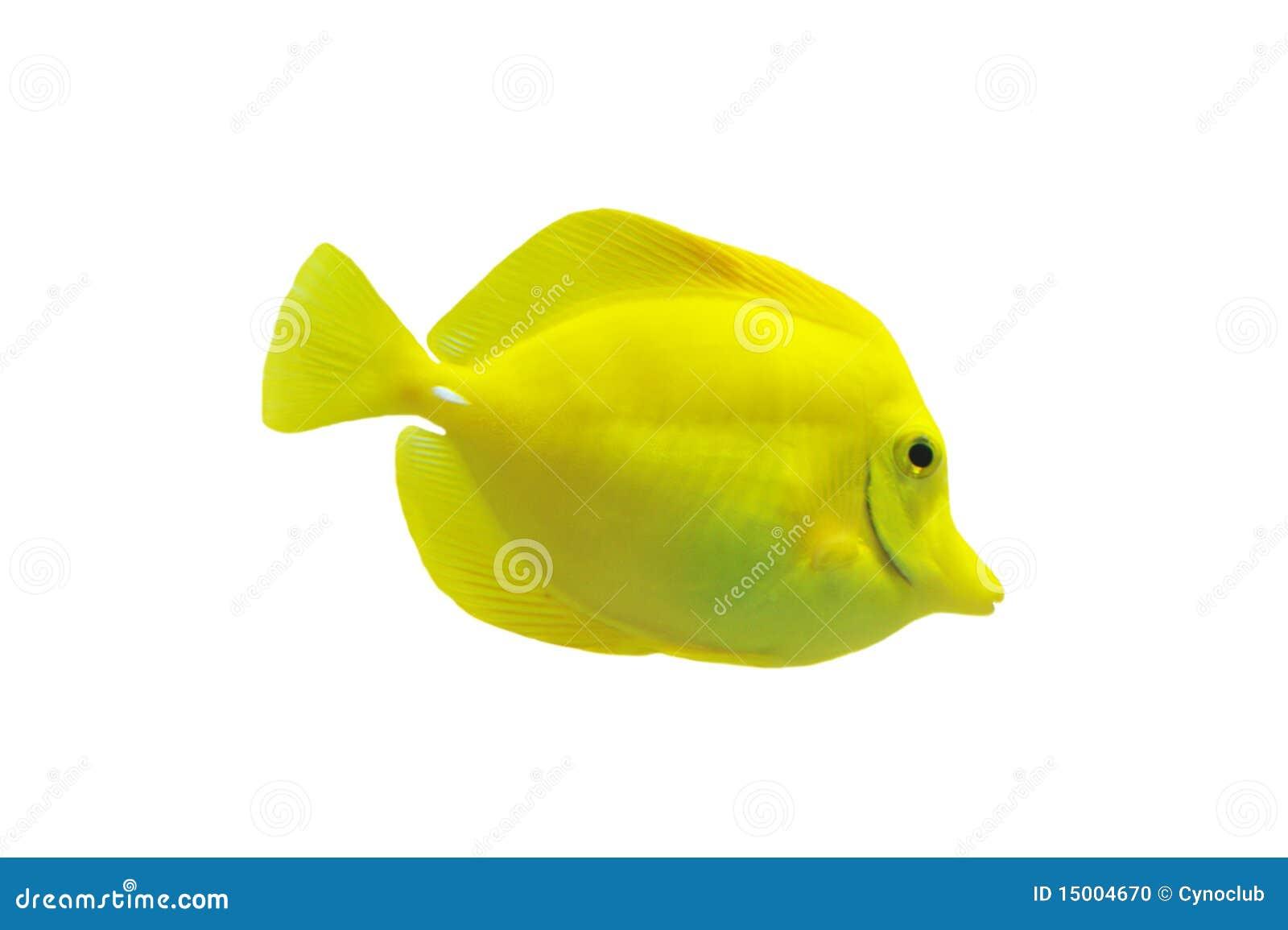 Espiga amarilla