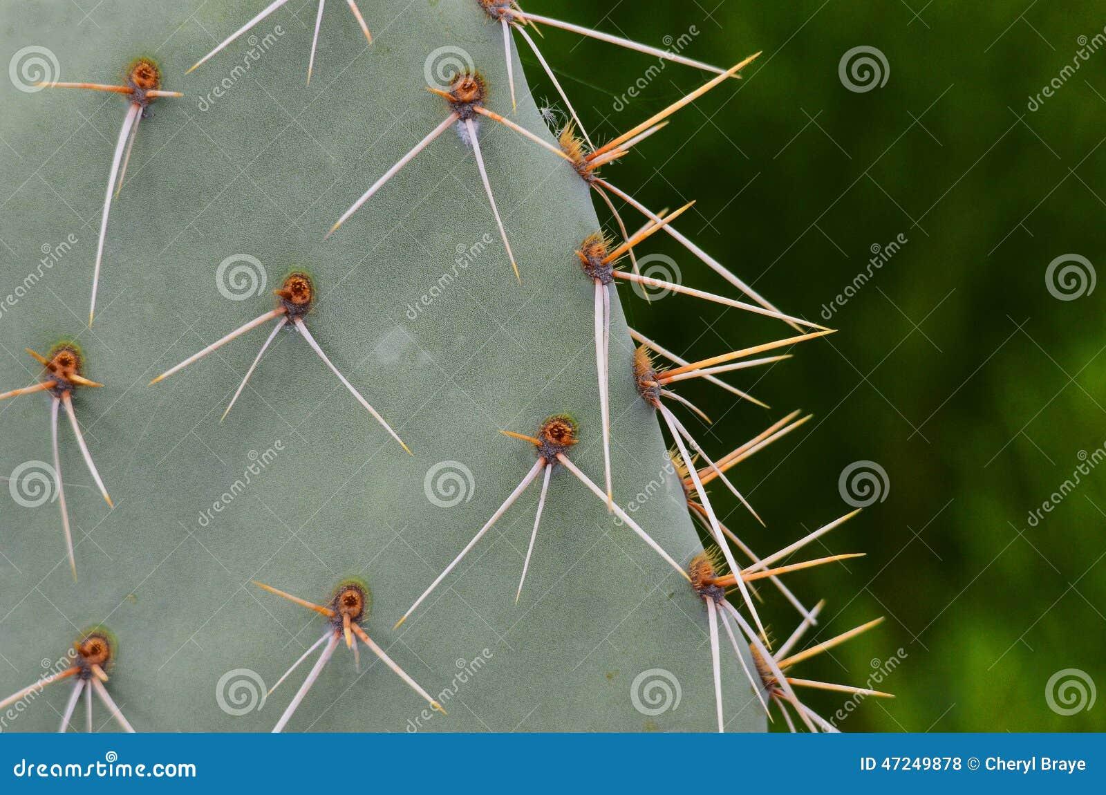 Espinas dorsales del cactus