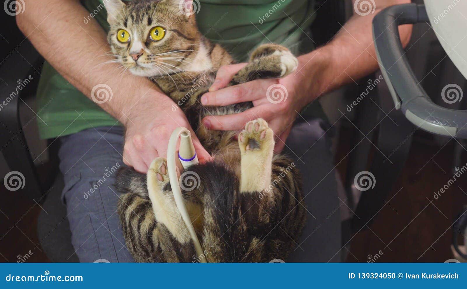 Esplorazione medica il gatto è sulla diagnosi di ultrasuono in una clinica veterinaria