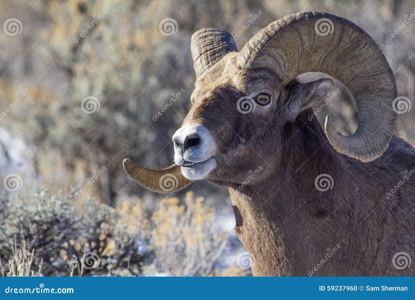Download Espolón De Las Ovejas Del Big Horn Foto de archivo - Imagen de animal, ovejas: 59237960
