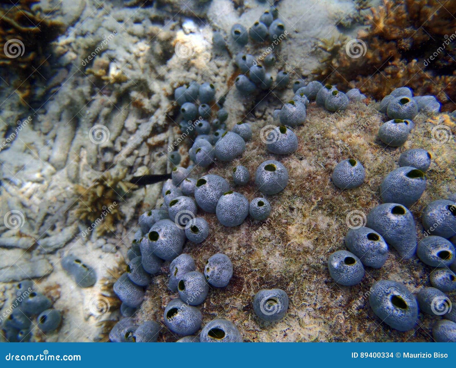 Esponja em uma parede tropical do recife de corais