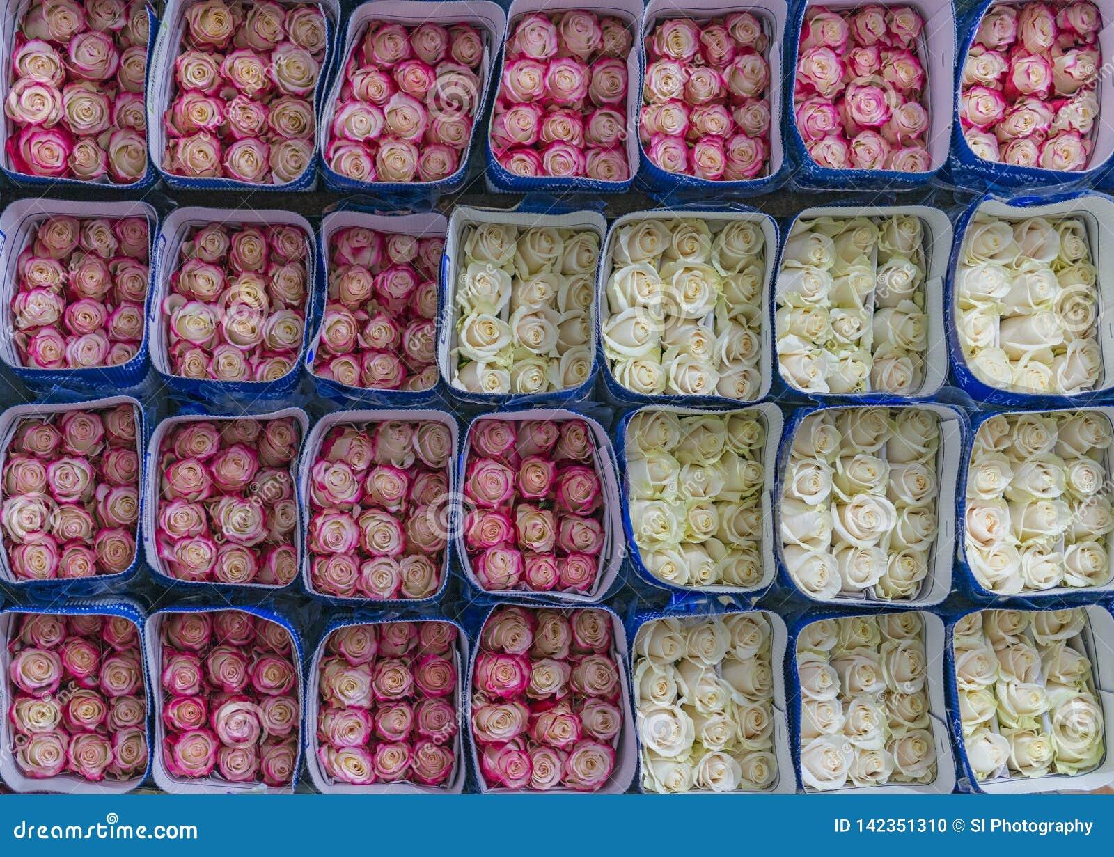 Esportazione e di rosa delle rose bianche, Ecuador