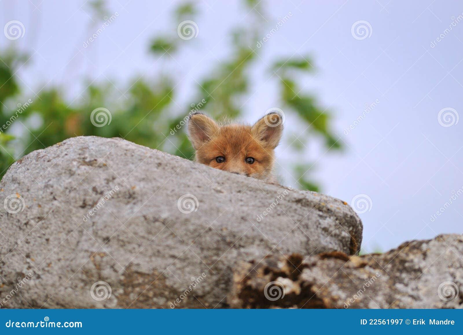 Espreitar novo da raposa