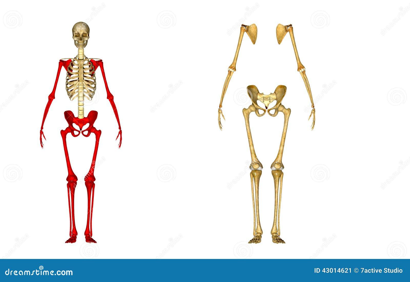Esqueleto stock de ilustración. Ilustración de fundido - 43014621