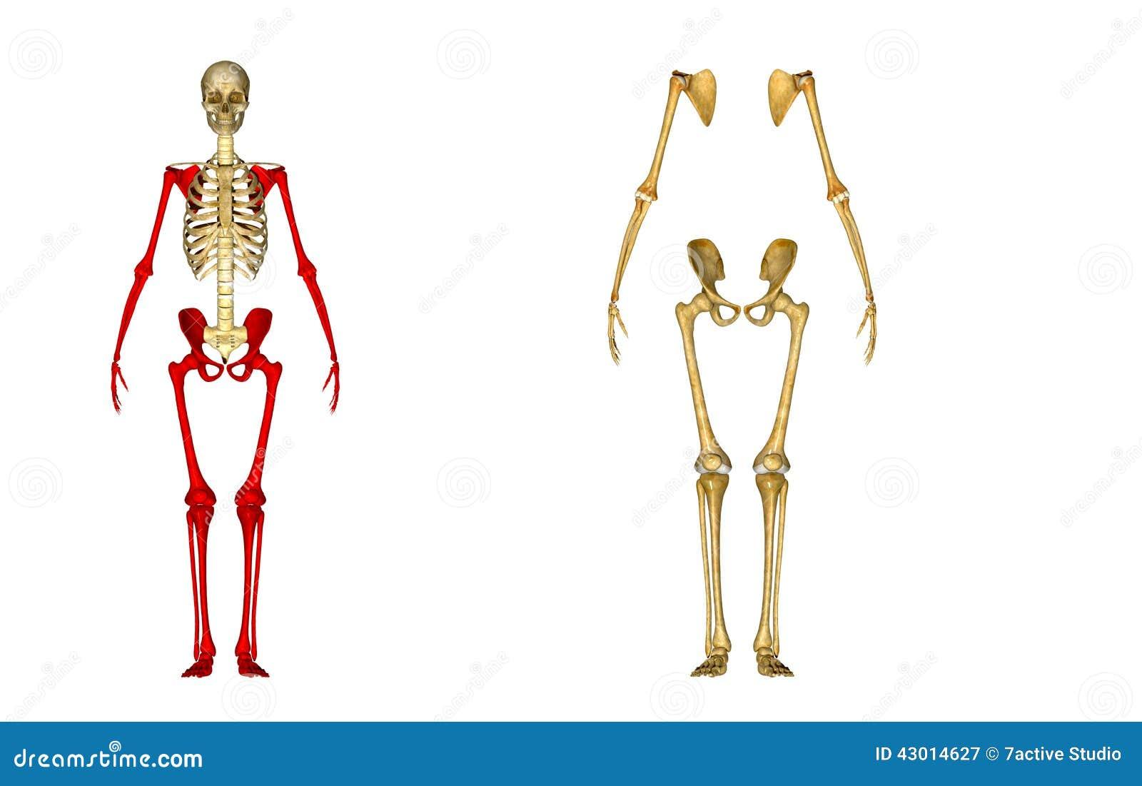 Esqueleto stock de ilustración. Ilustración de columna - 43014627