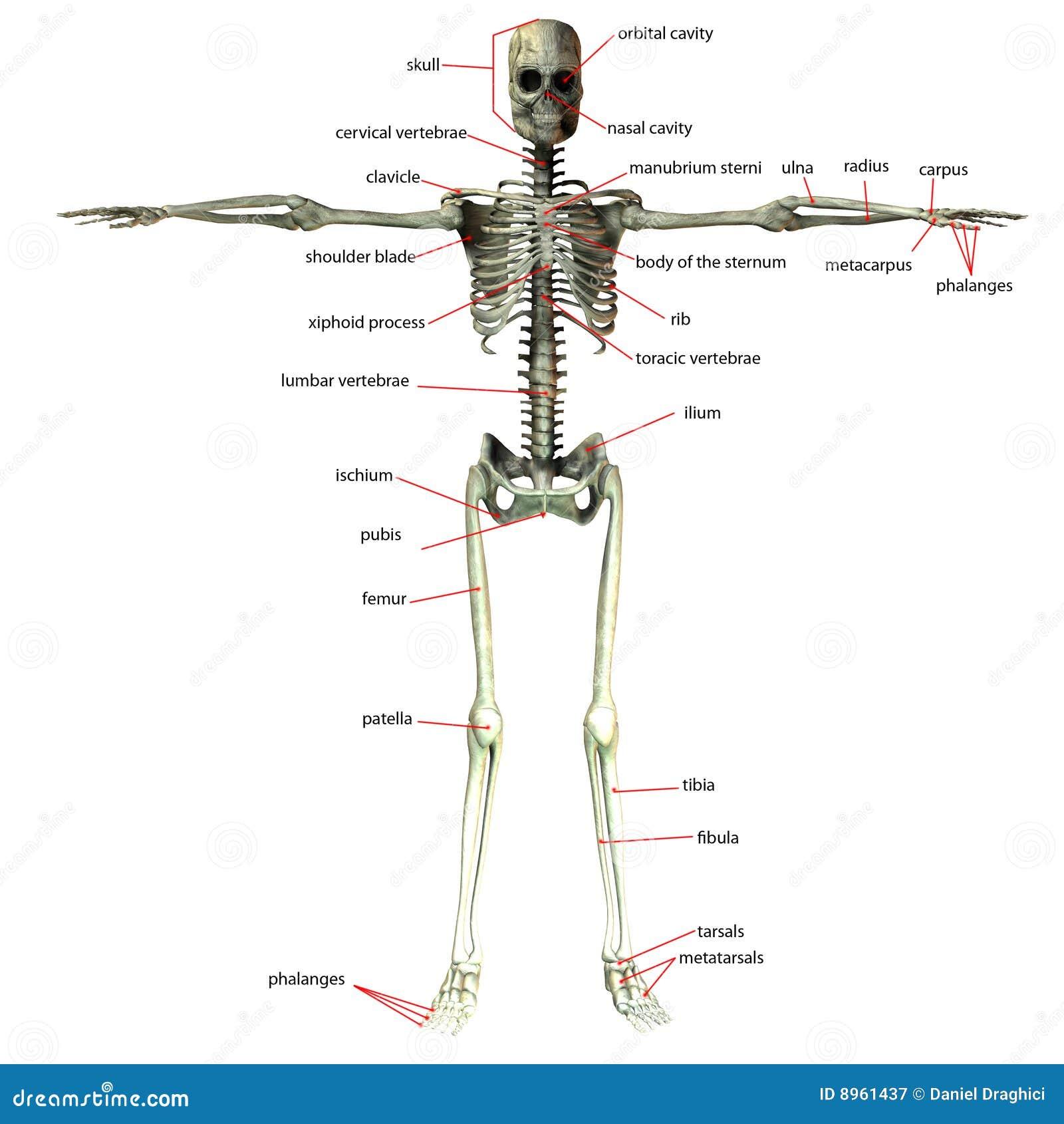 Esqueleto Con Nombres Del Hueso Stock de ilustración - Ilustración ...
