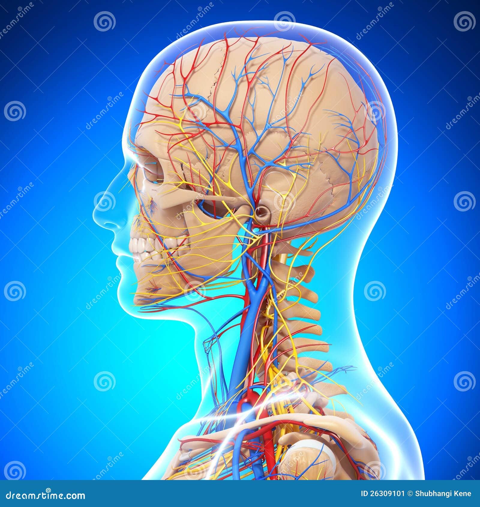 Esqueleto De La Cabeza Humana En Vista Lateral Azul Stock de ...