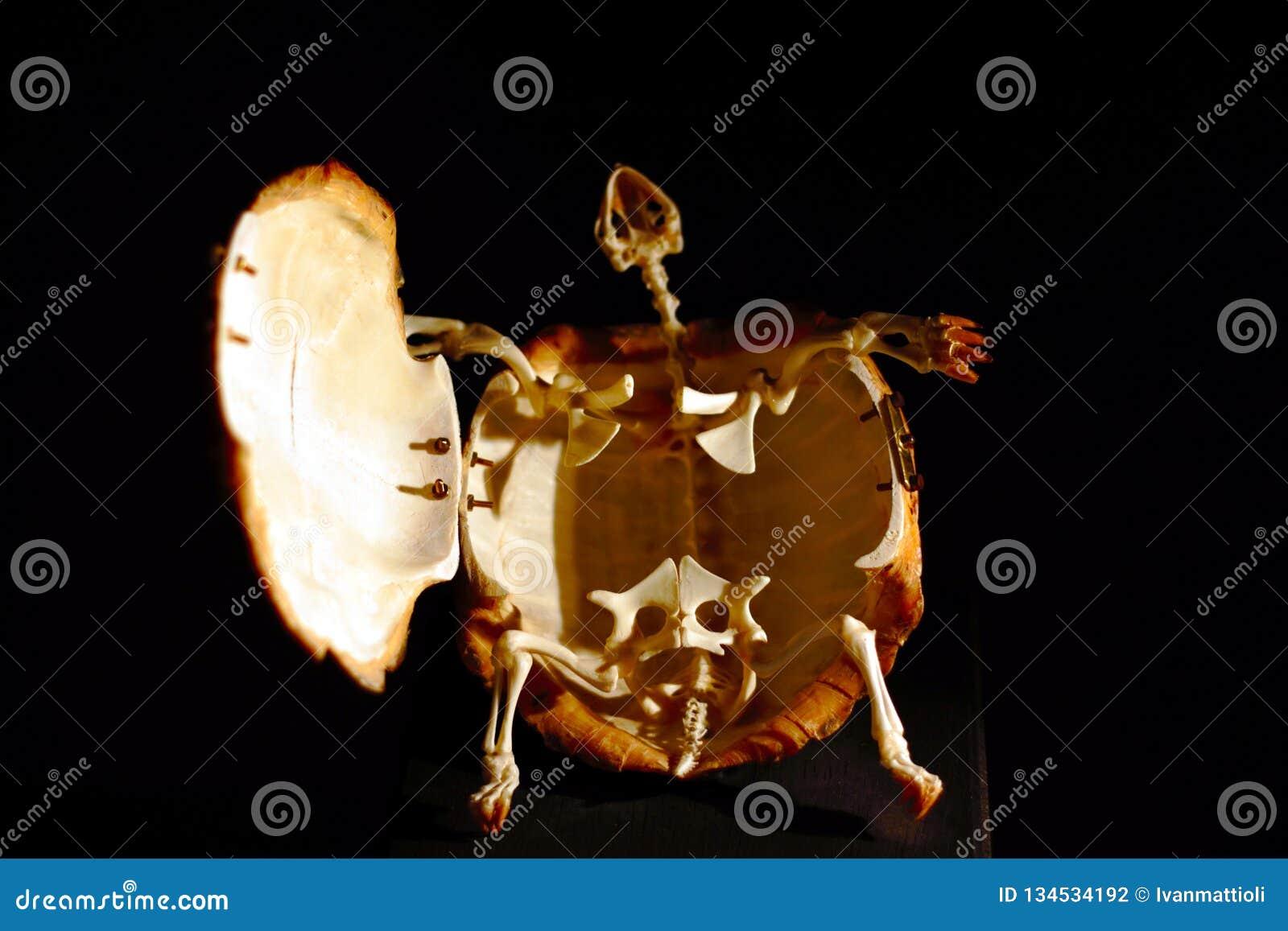 Esqueleto de um hermanni grego do Testudo da tartaruga