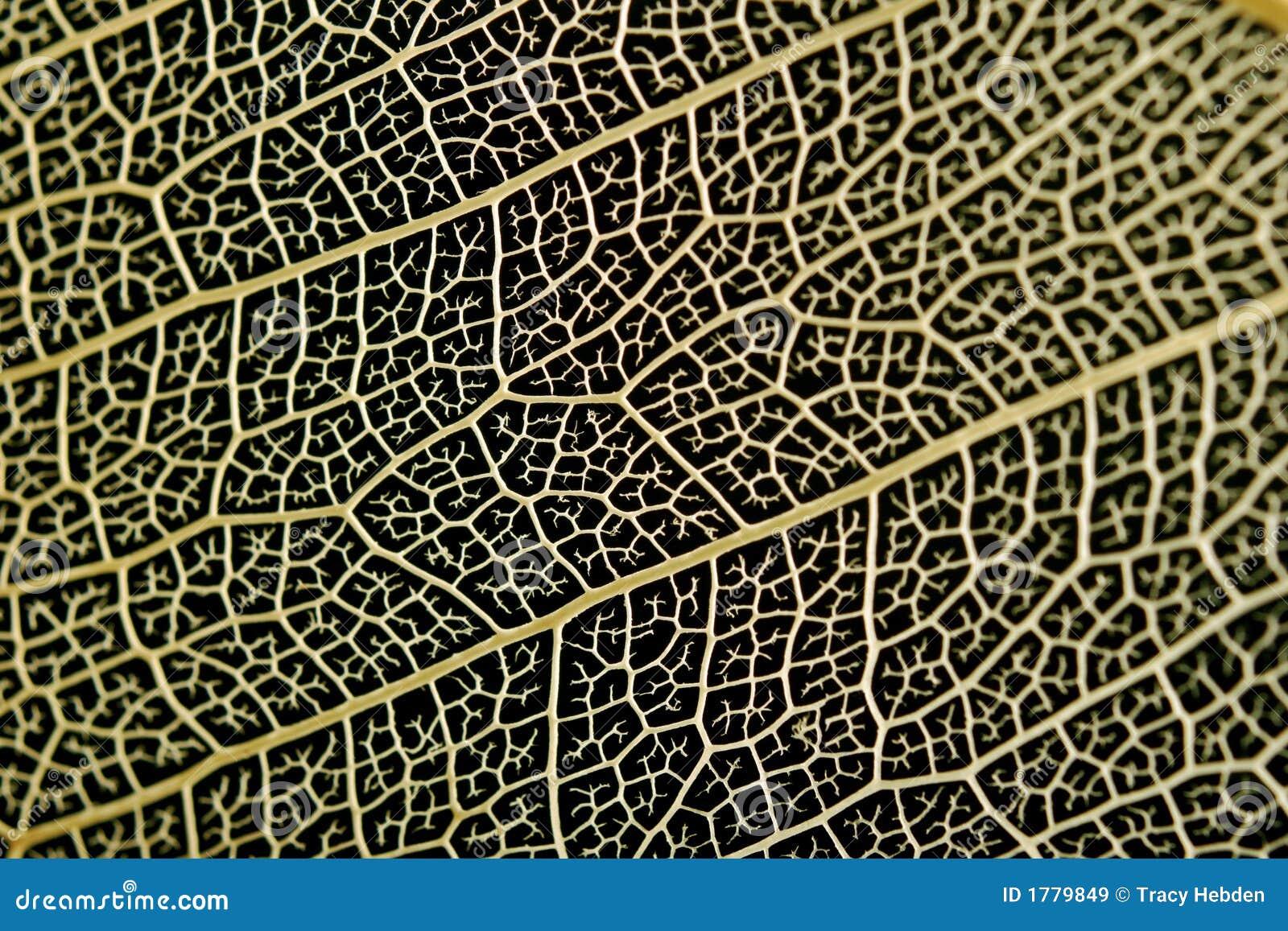 Esqueleto de uma folha