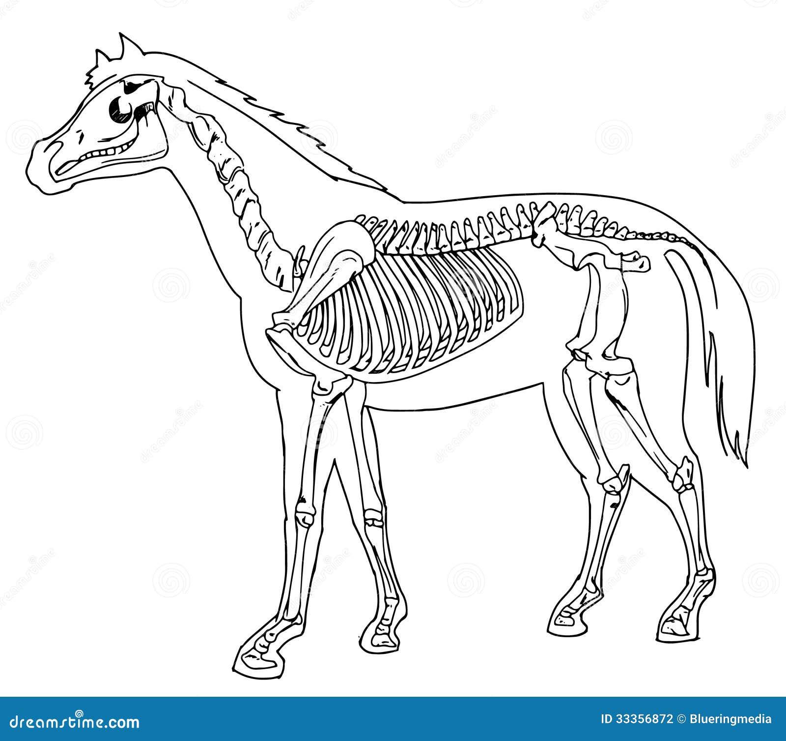 Fantástico Anatomía Del Esqueleto Del Caballo Cresta - Anatomía de ...