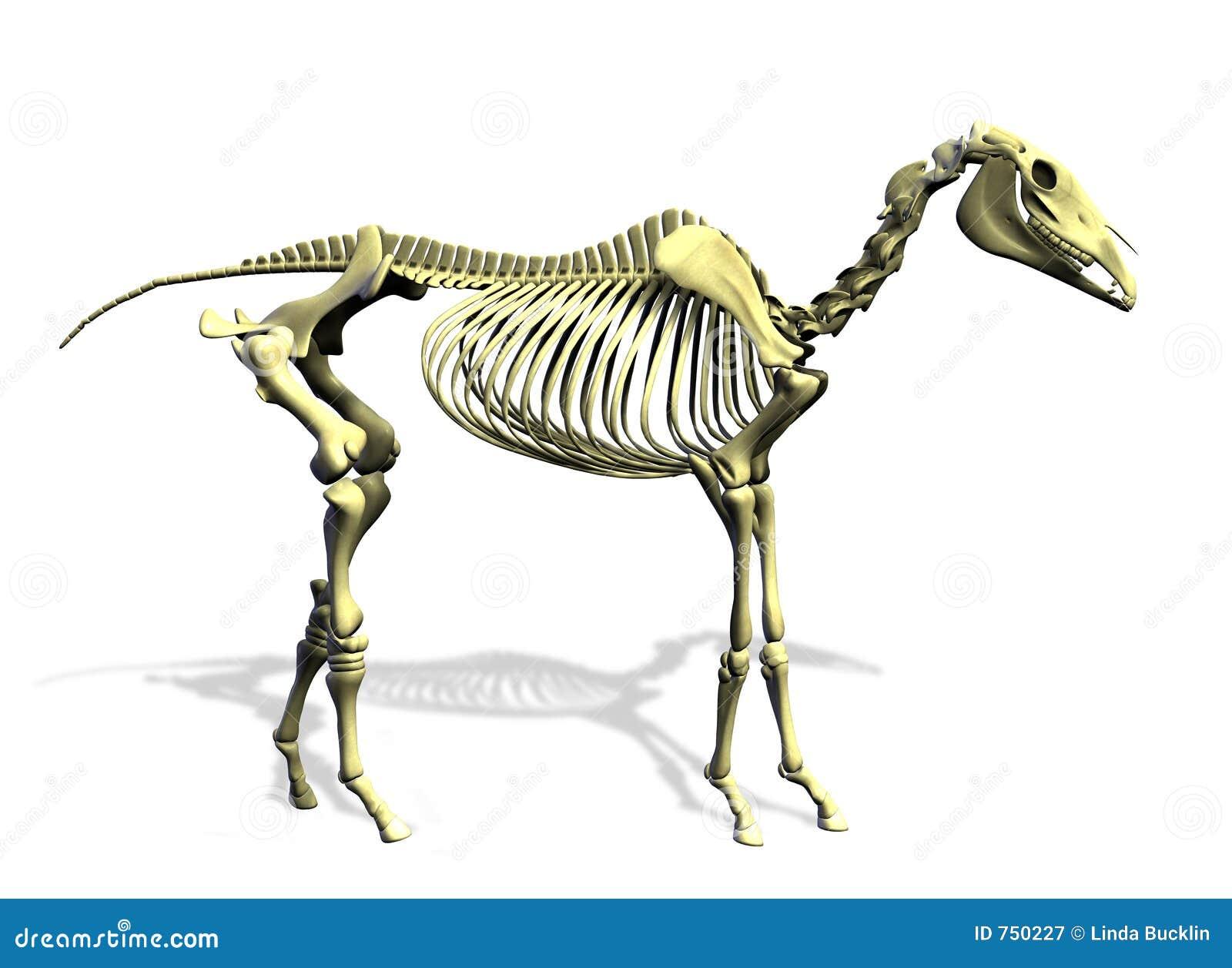 Esqueleto Del Caballo - Con El Camino De Recortes Stock de ...