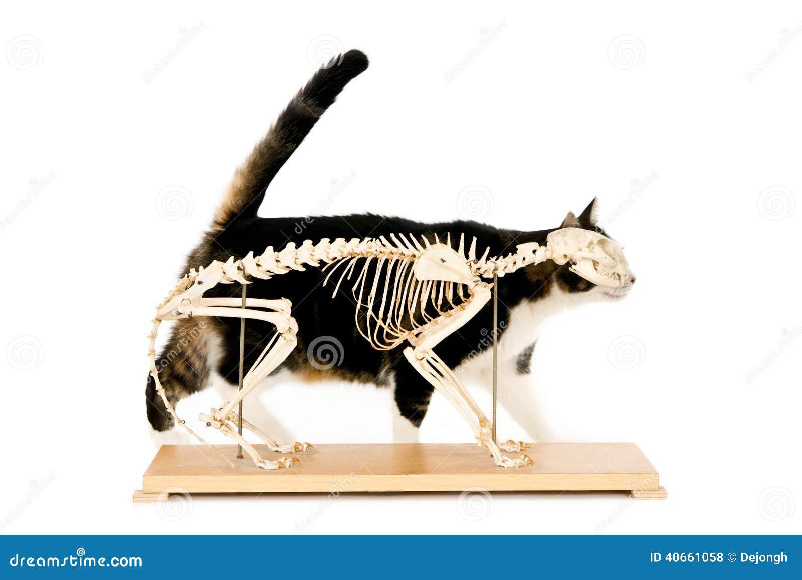 Esqueleto del gato foto de archivo. Imagen de interior - 40661058