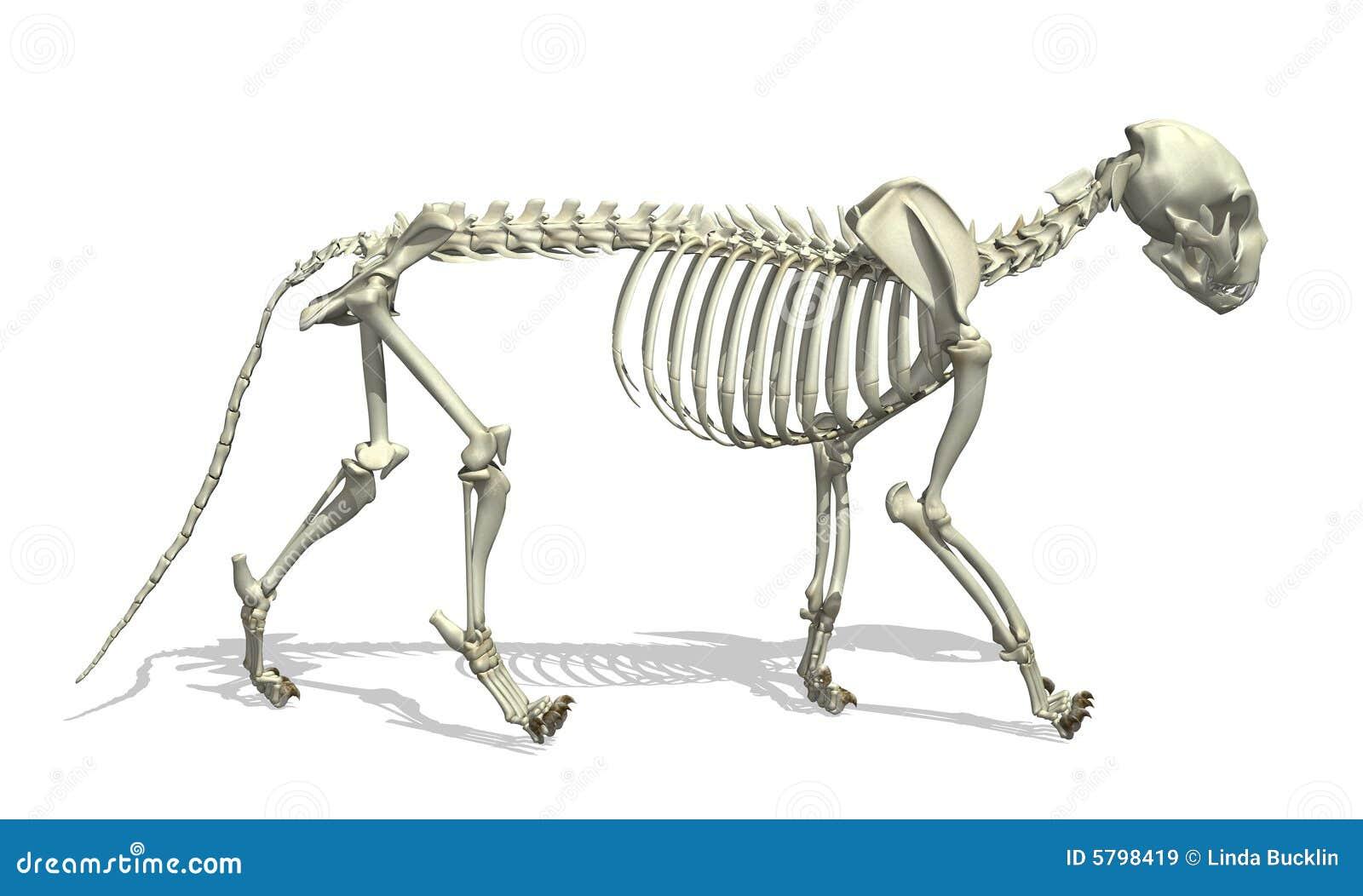 Esqueleto del gato stock de ilustración. Ilustración de huesos - 5798419