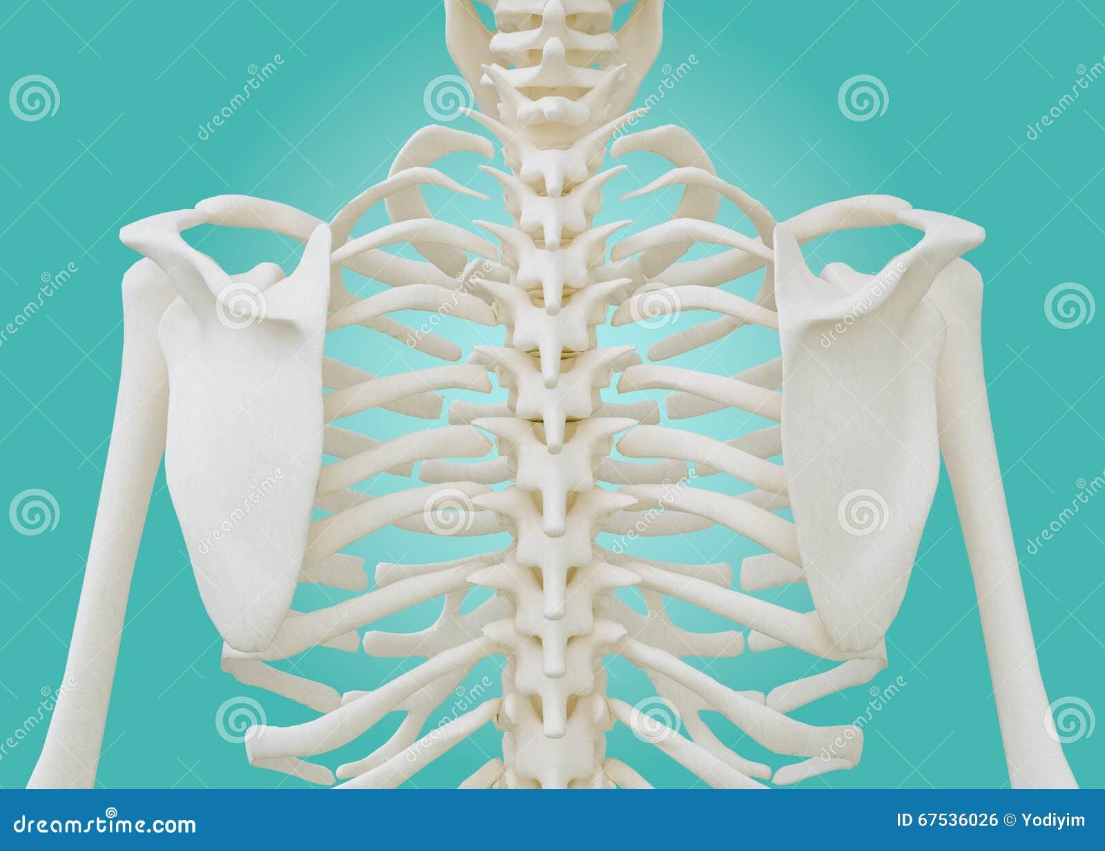 Esqueleto Del Pecho En Fondo Verde En Colores Pastel Stock de ...