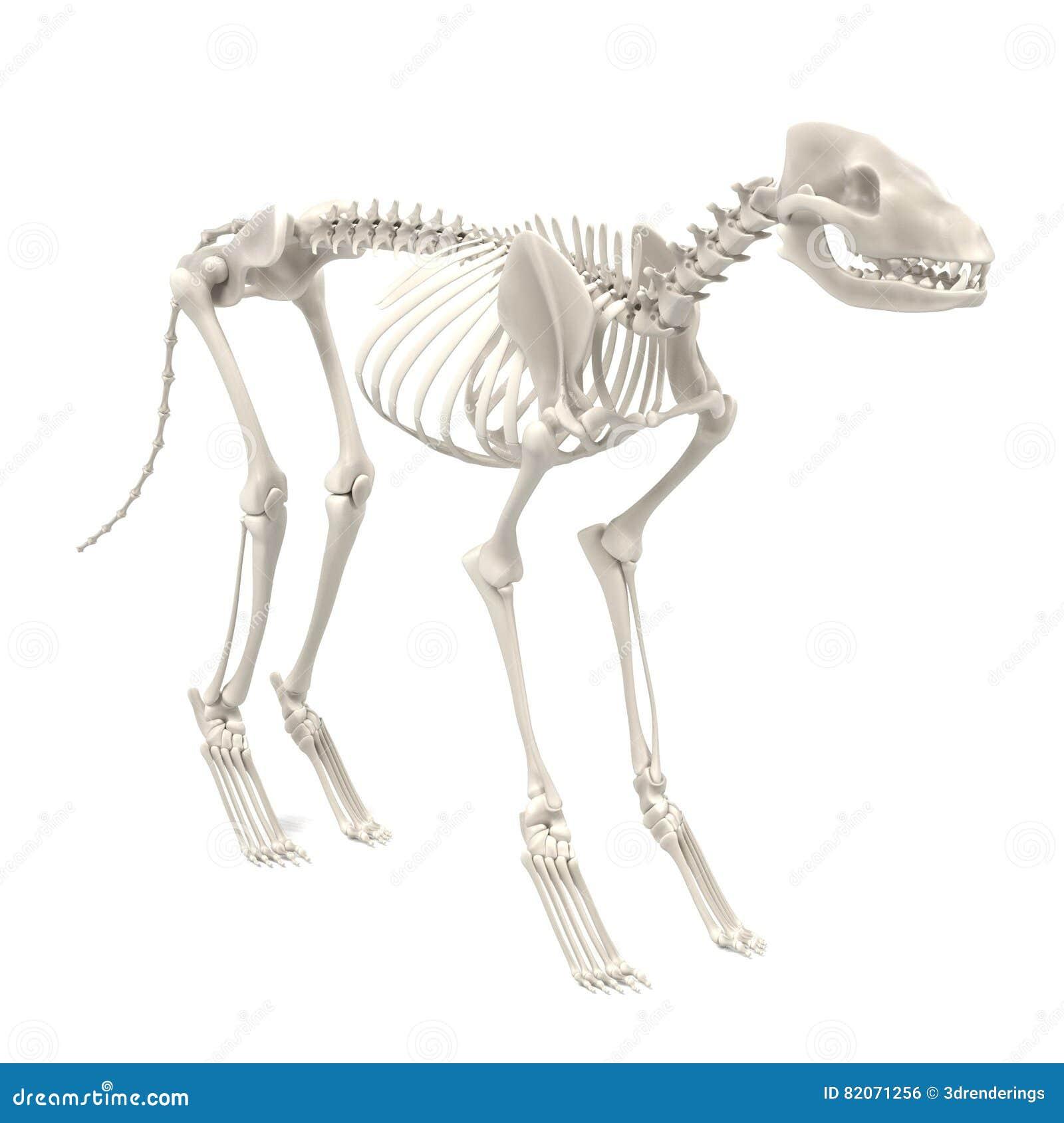 Esqueleto del perro stock de ilustración. Ilustración de esqueleto ...