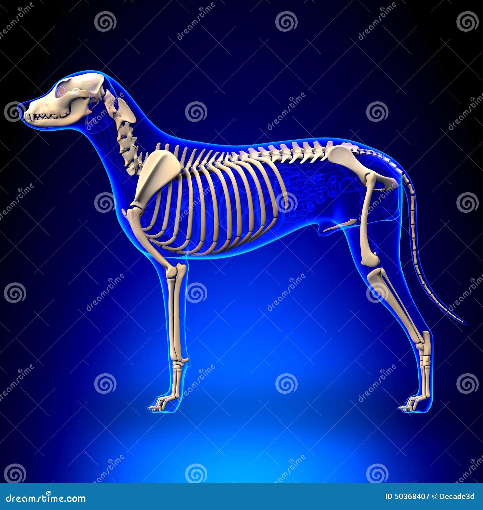 Moderno Perros órganos Anatomía Ilustración - Imágenes de Anatomía ...