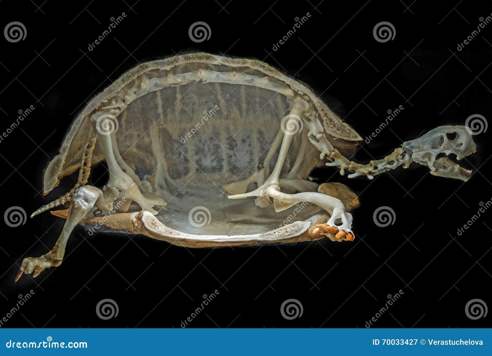 Esqueleto en una tortuga imagen de archivo. Imagen de foto - 70033427