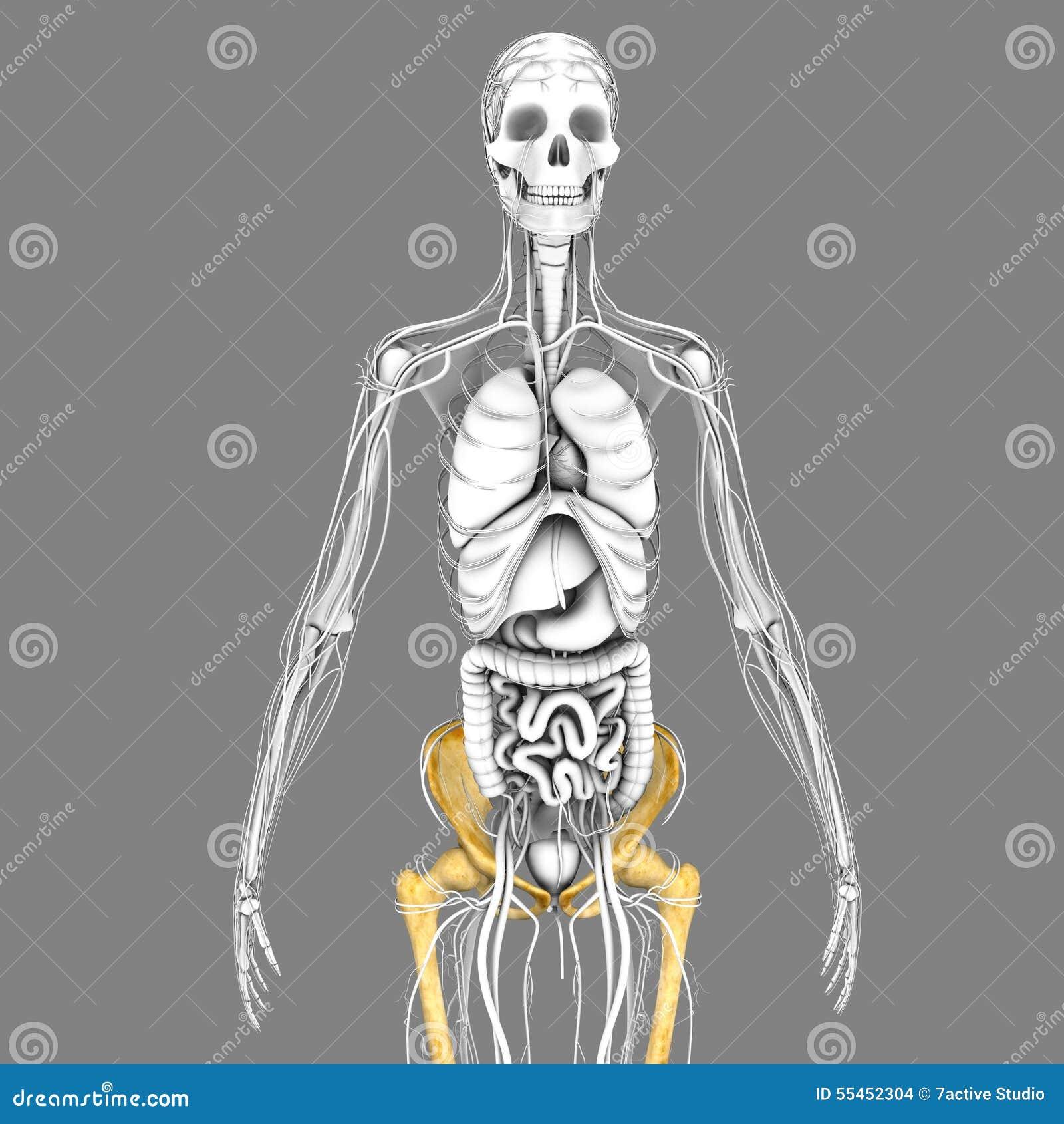 Esqueleto humano stock de ilustración. Ilustración de pecho - 55452304
