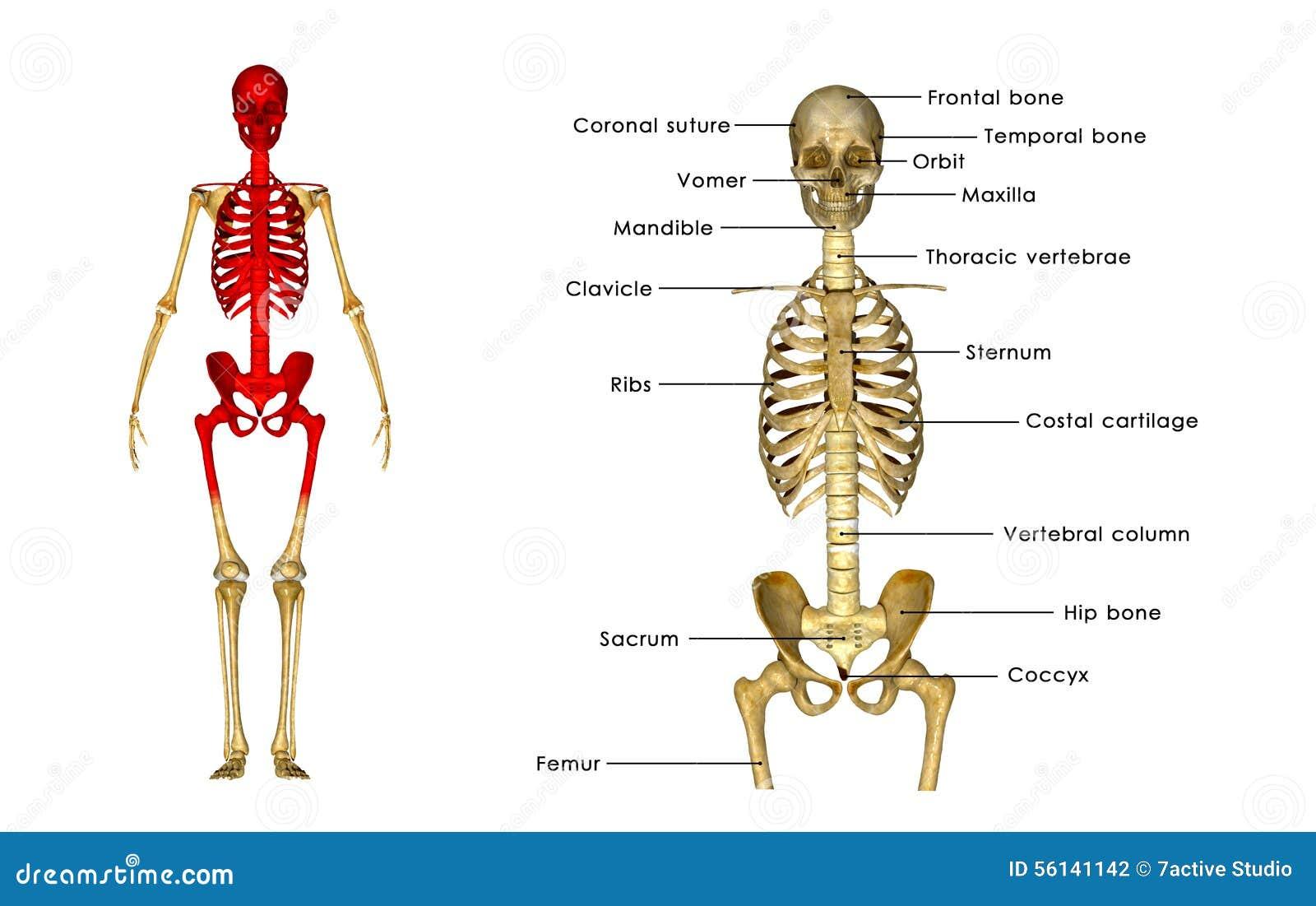 Esqueleto humano stock de ilustración. Ilustración de médico - 56141142