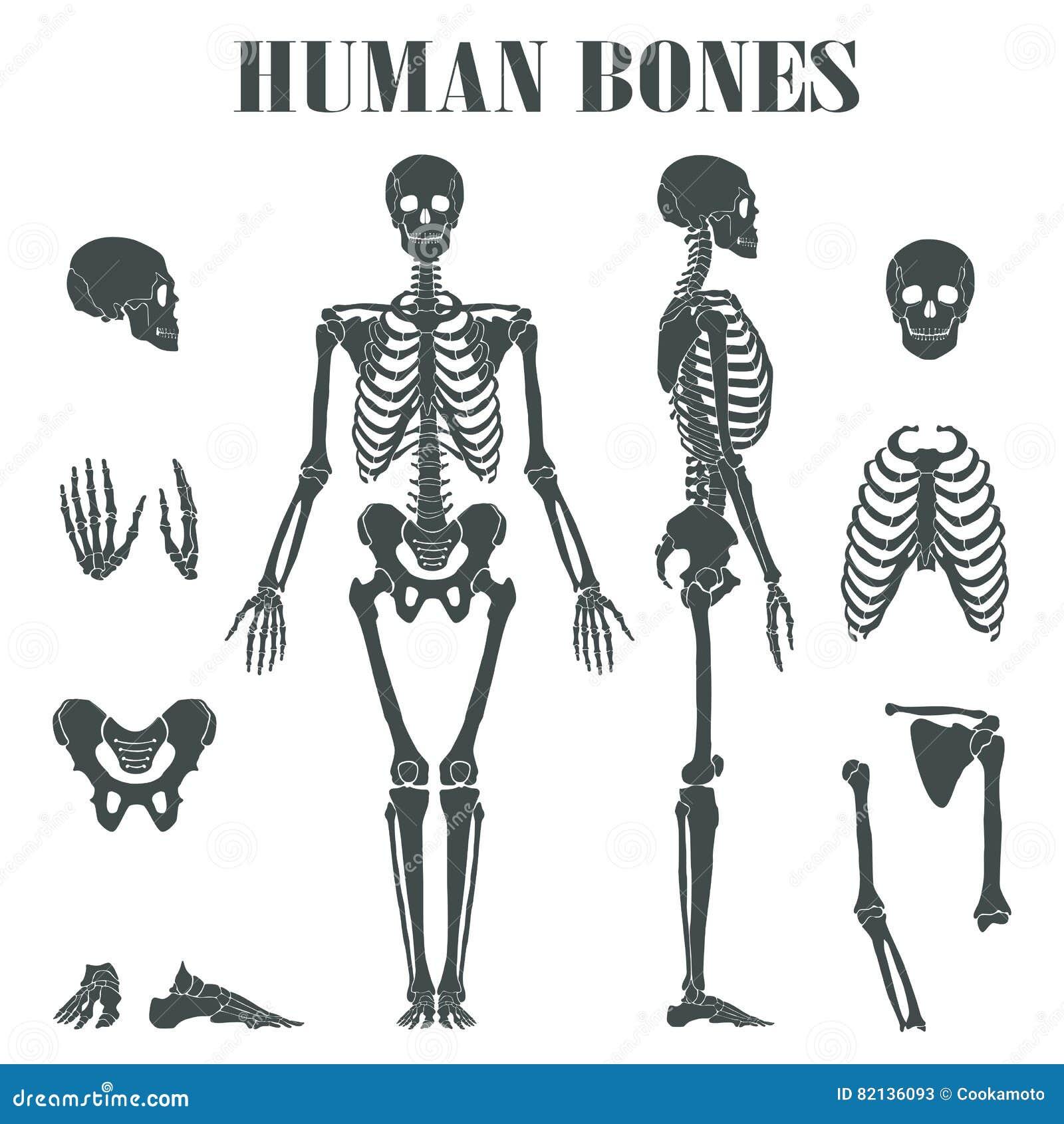 Esqueleto Humano Con Diversas Piezas Ilustración del Vector ...