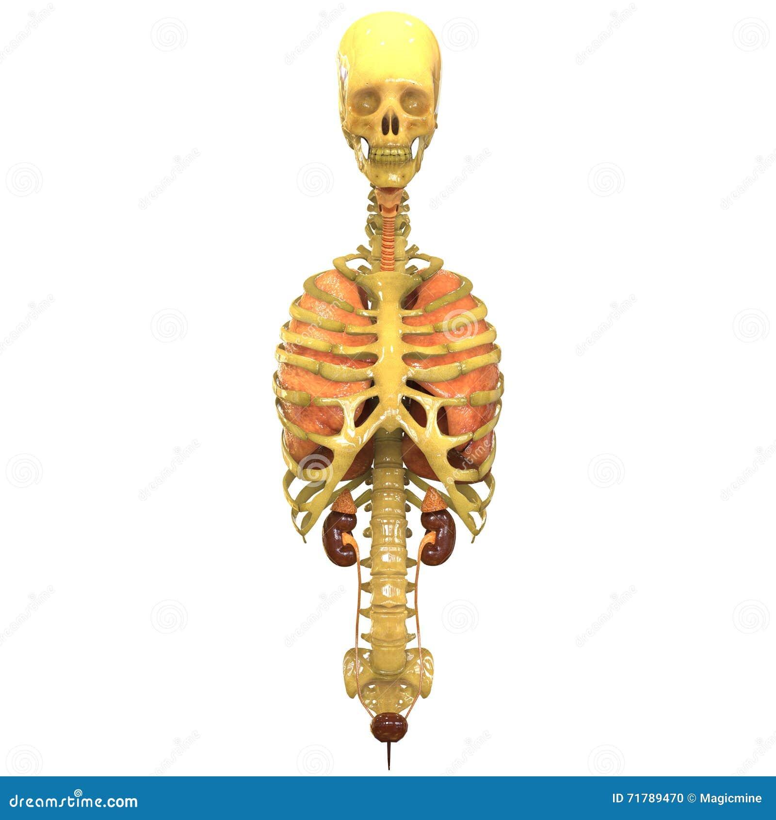 Esqueleto Humano Con Los Pulmones Y Los Riñones Stock de ilustración ...