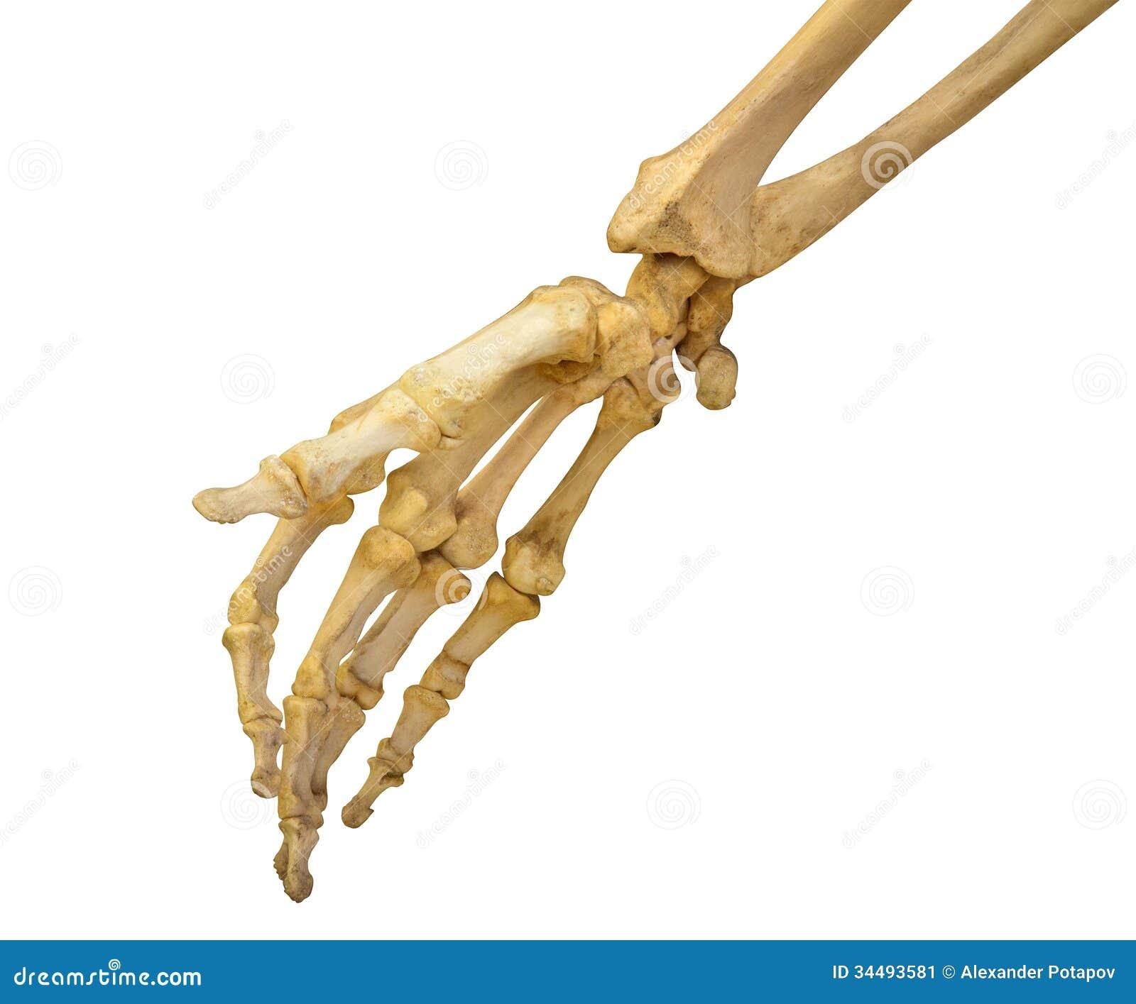 Esqueleto humano da mão no branco
