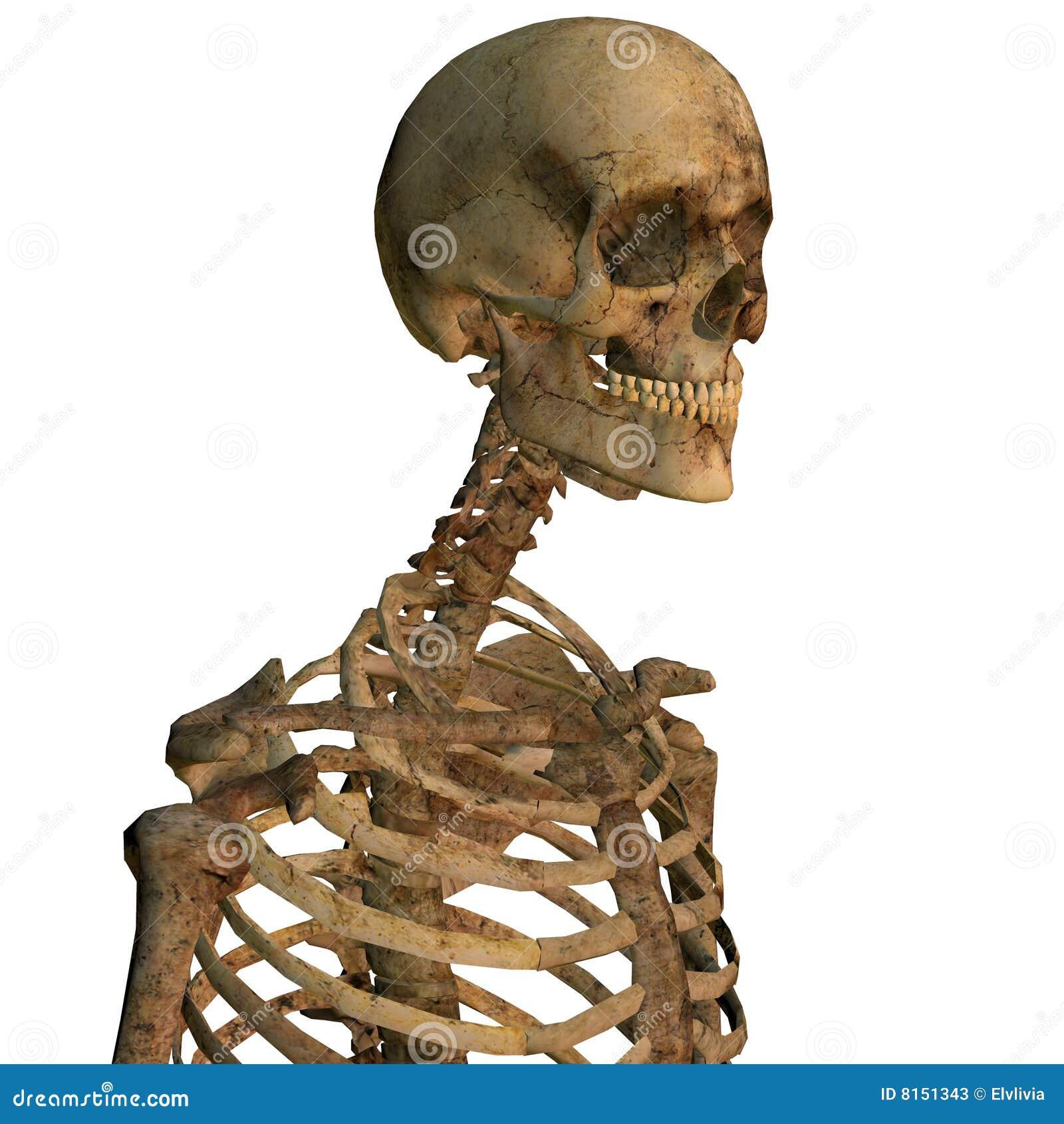 Esqueleto Humano De Envejecimiento Stock de ilustración ...