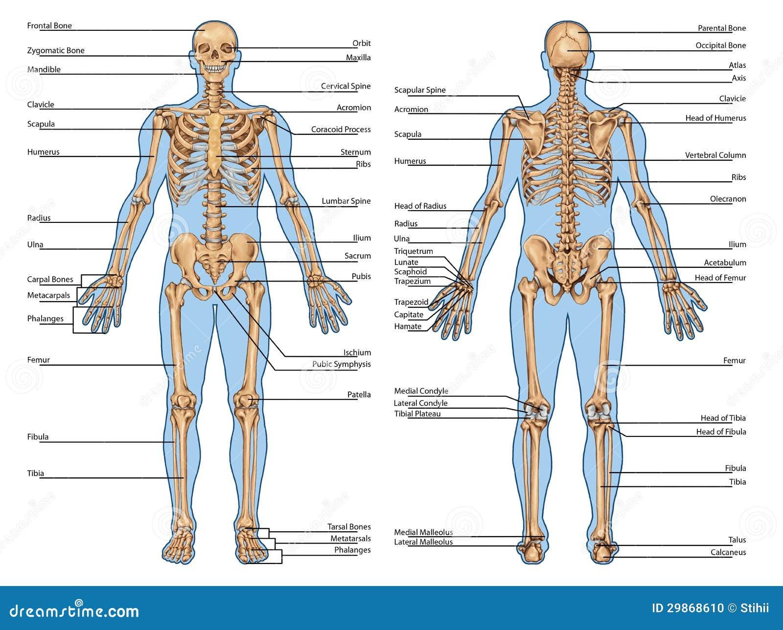 Famoso Los órganos Del Cuerpo Vista Posterior Motivo - Imágenes de ...