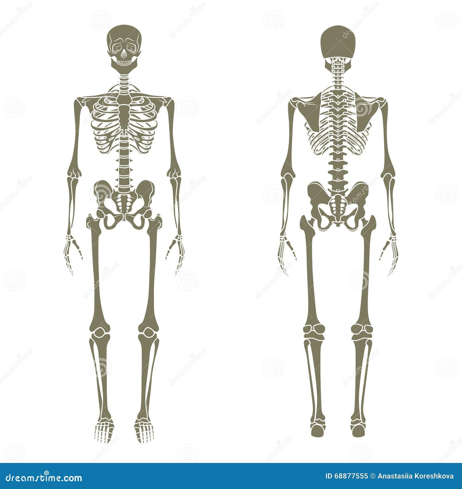 Vistoso Esqueleto Humano Etiquetado Composición - Anatomía de Las ...