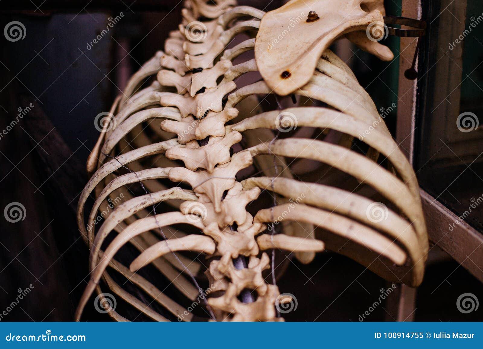 Esqueleto Humano Viejo De La Costilla Imagen de archivo - Imagen de ...