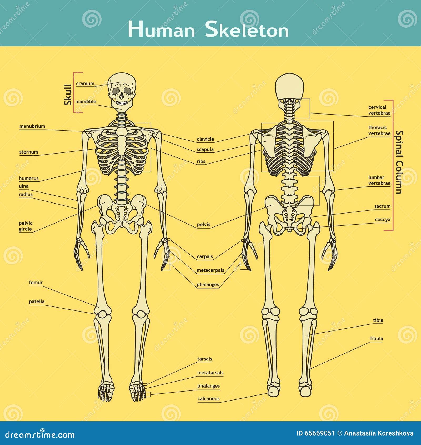 Esqueleto Humano, Visión Delantera Y Trasera Con Explicaciones ...