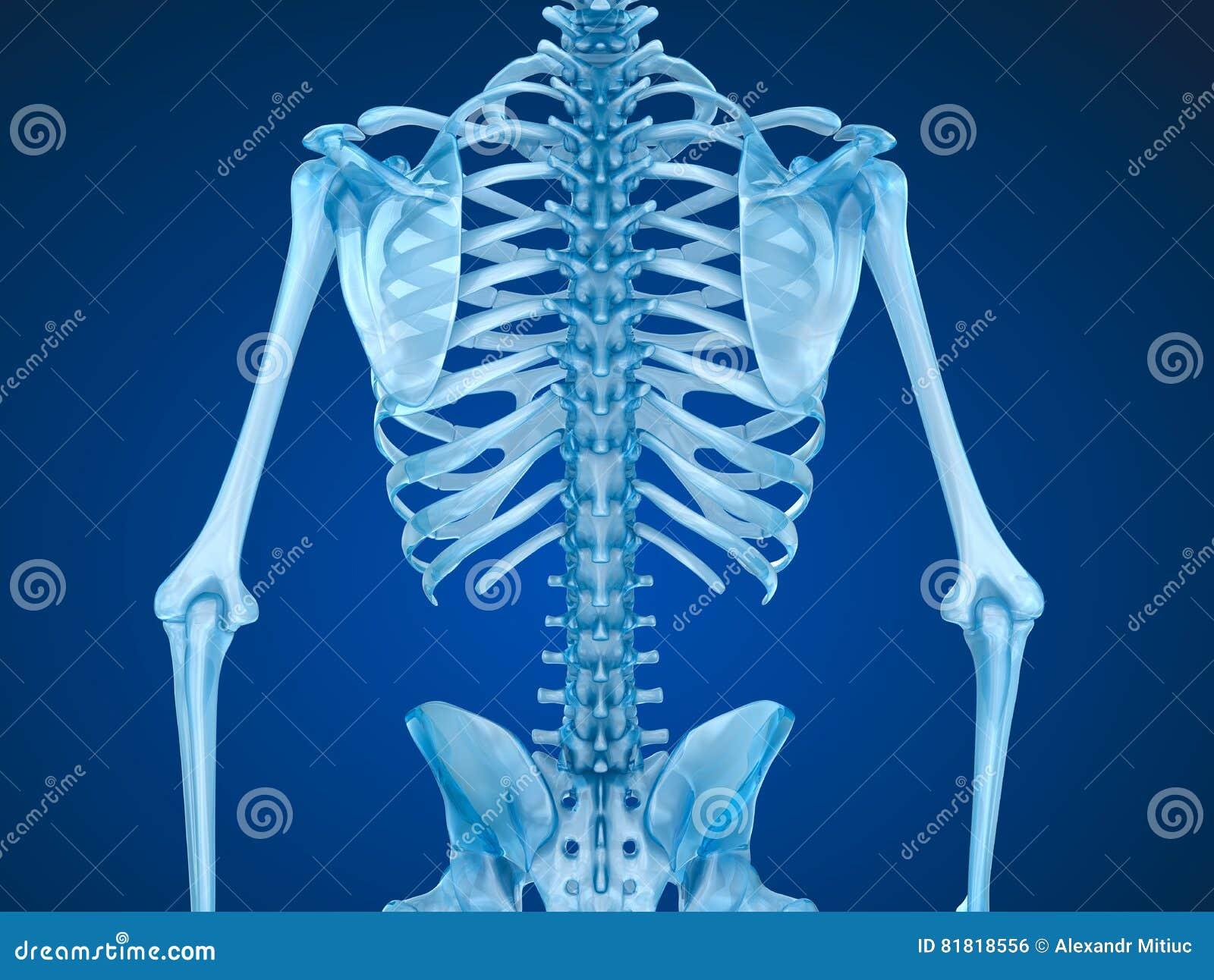 Esqueleto Humano: Vista Delantera Del Pecho Del Pecho Stock de ...