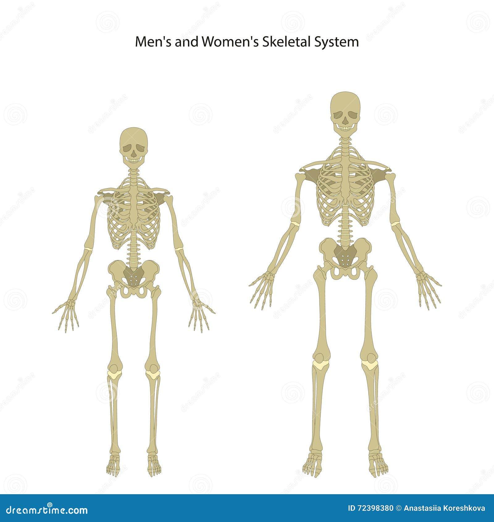 Esqueleto Masculino Y Femenino Front View Ilustración del Vector ...