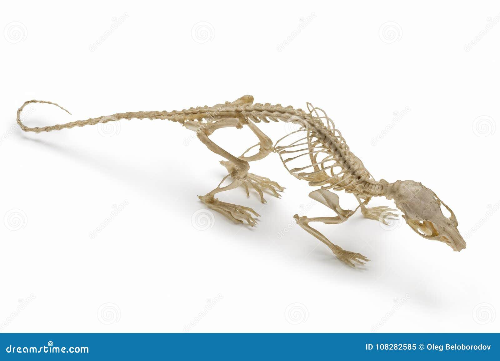 Esqueleto Natural De La Rata Imagen de archivo - Imagen de cierre ...