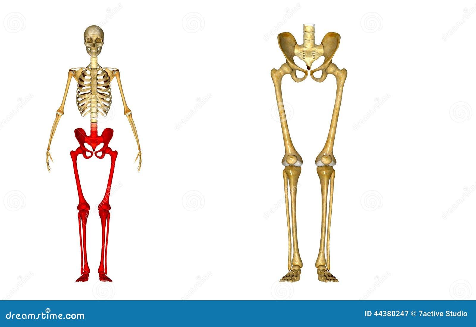 Esqueleto: Ossos do quadril, do fêmur, da tíbia, do perônio, do tornozelo e de pé