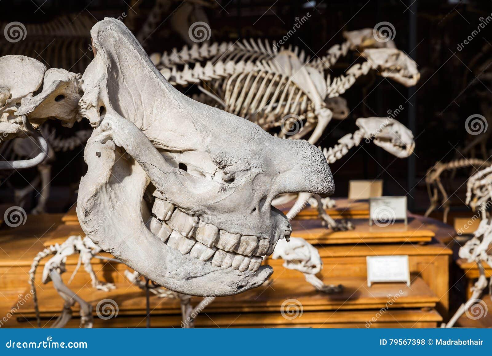 Esqueletos De Animales En La Galería De La Paleontología Y De La ...