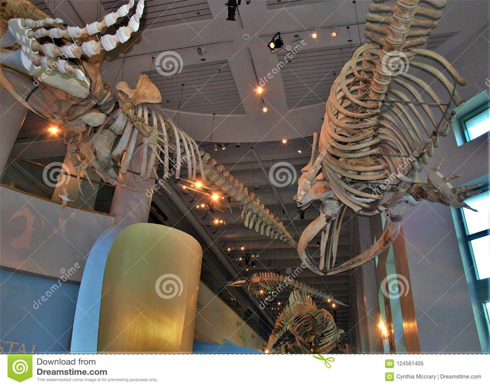 Esqueletos De La Ballena En Carolina Museum Del Norte De Ciencias ...