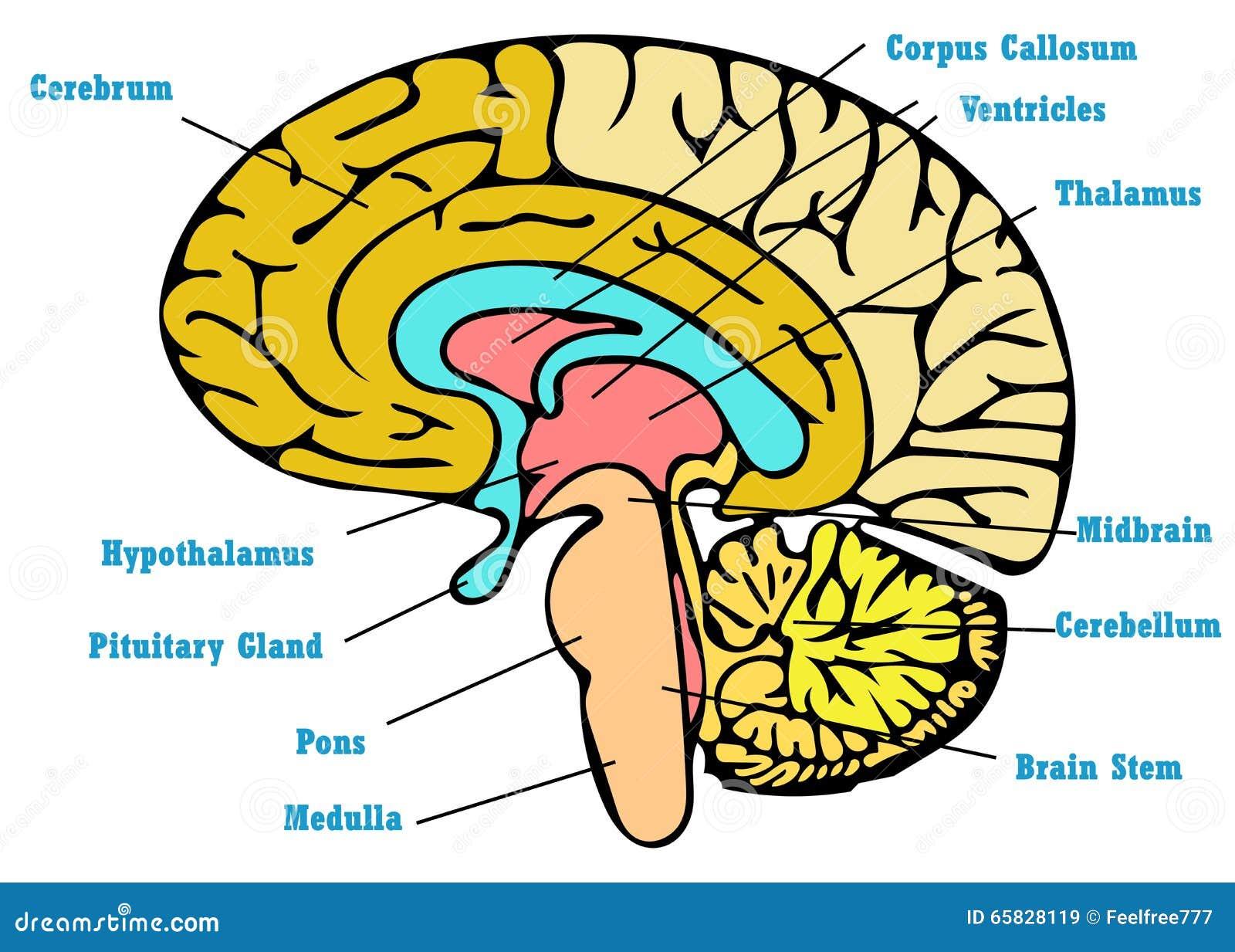 Dorable Anatomía Del Diagrama De Cerebro Friso - Anatomía de Las ...