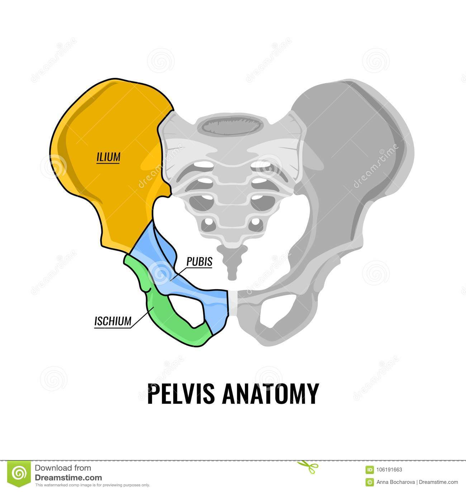 Esquema De La Anatomía De La Pelvis Ilustración del Vector ...
