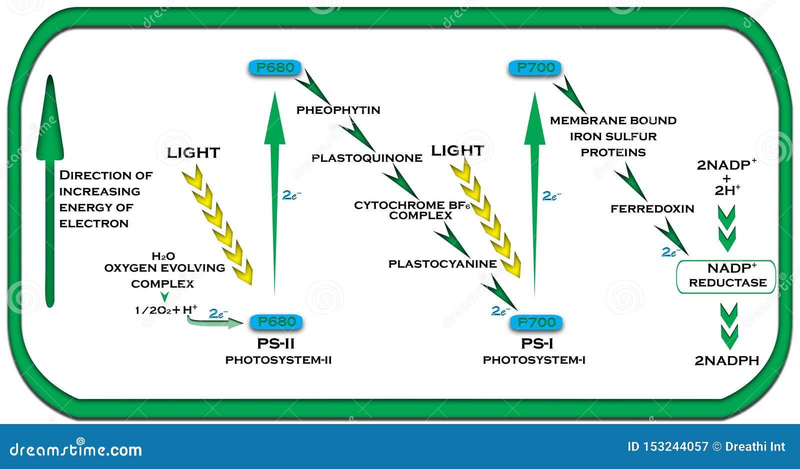 Esquema de Z na reação clara das plantas