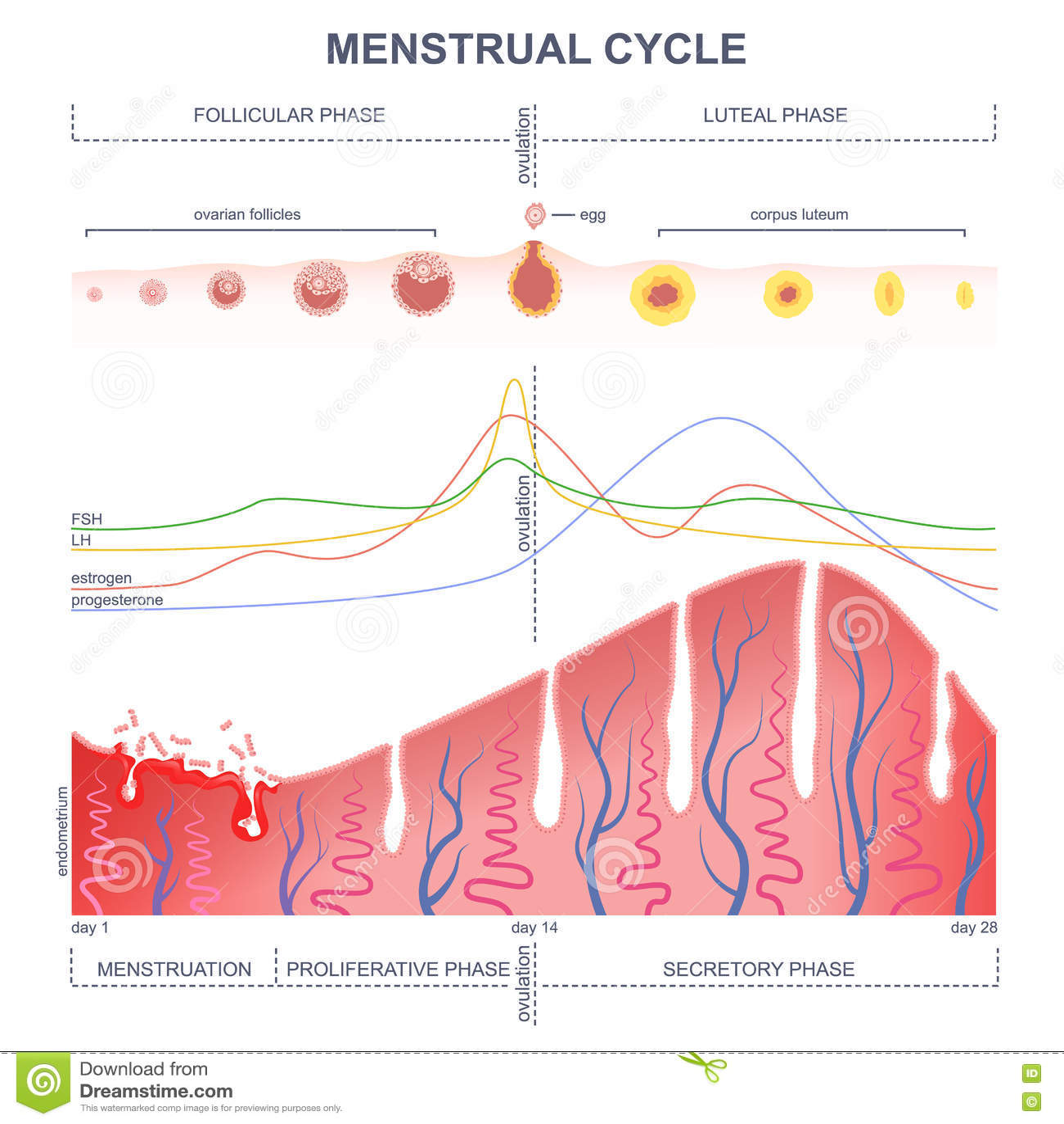 Esquema Del Ciclo Menstrual Ilustración del Vector - Ilustración de ...