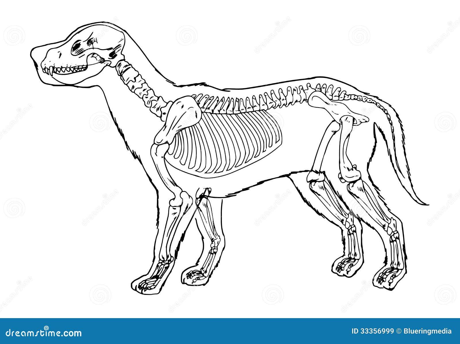 Sistema Esquelético De Un Perro Stock de ilustración - Ilustración ...