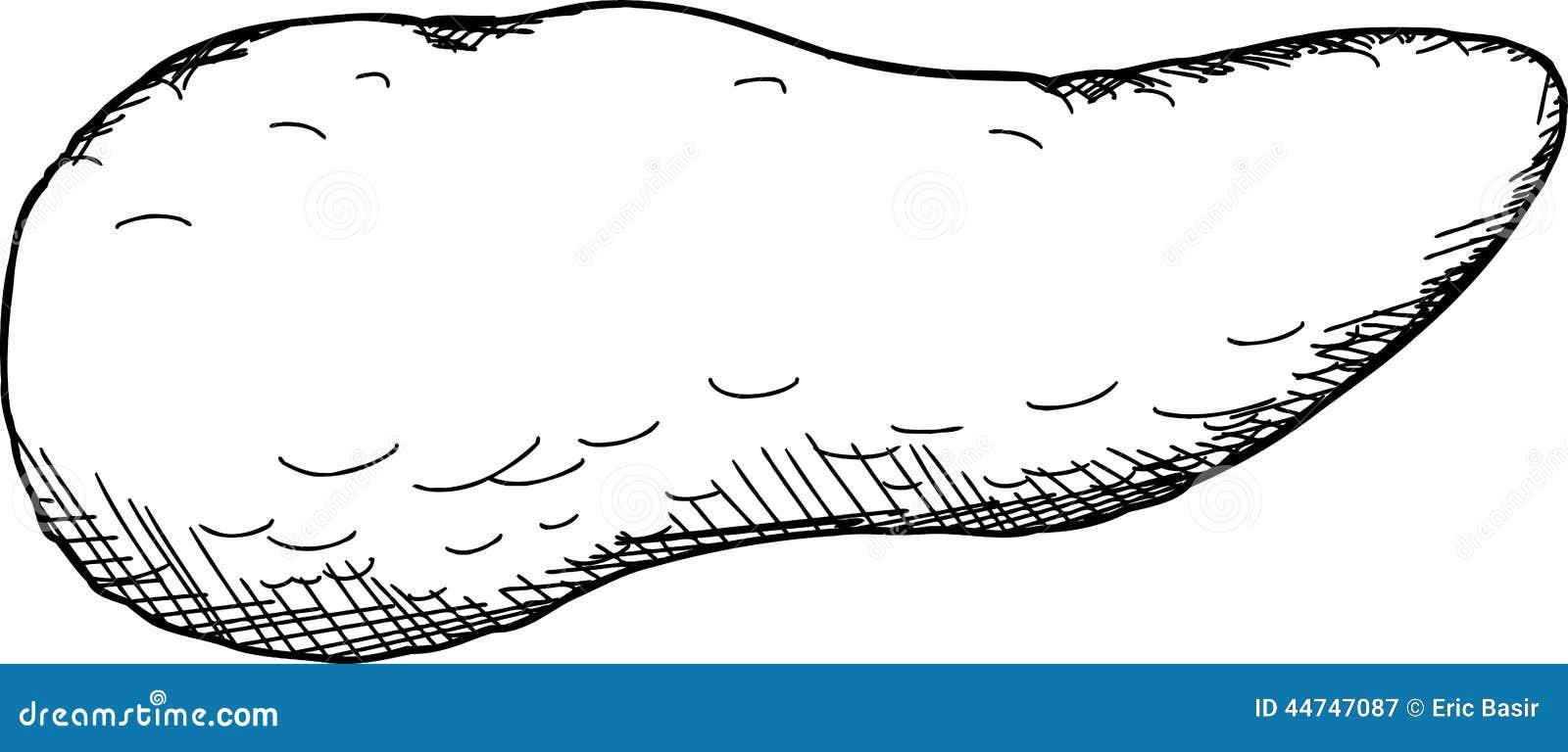 Esquema del páncreas ilustración del vector. Ilustración de ...