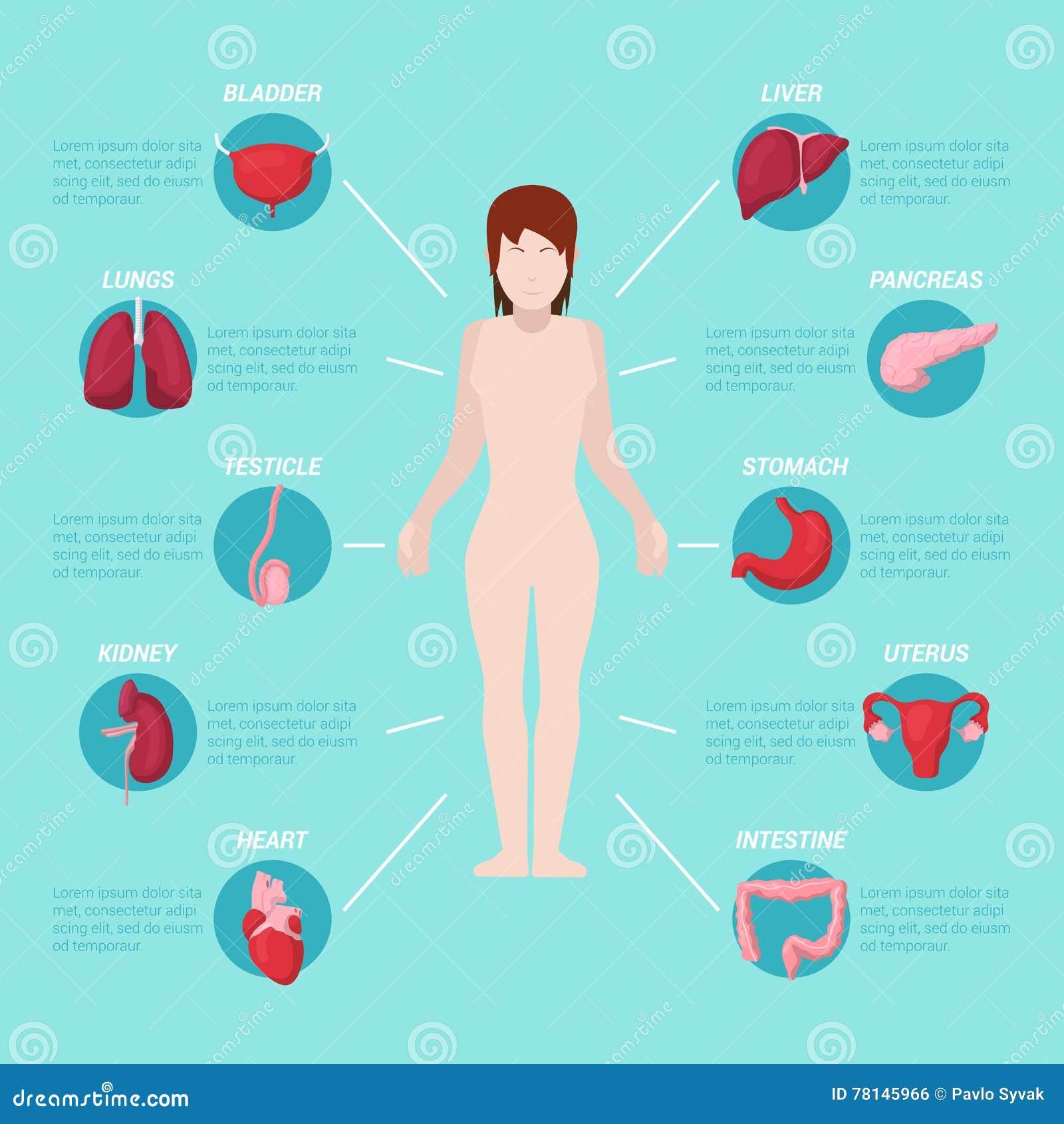 Moderno Diagrama De órganos Vitales Humana Embellecimiento ...